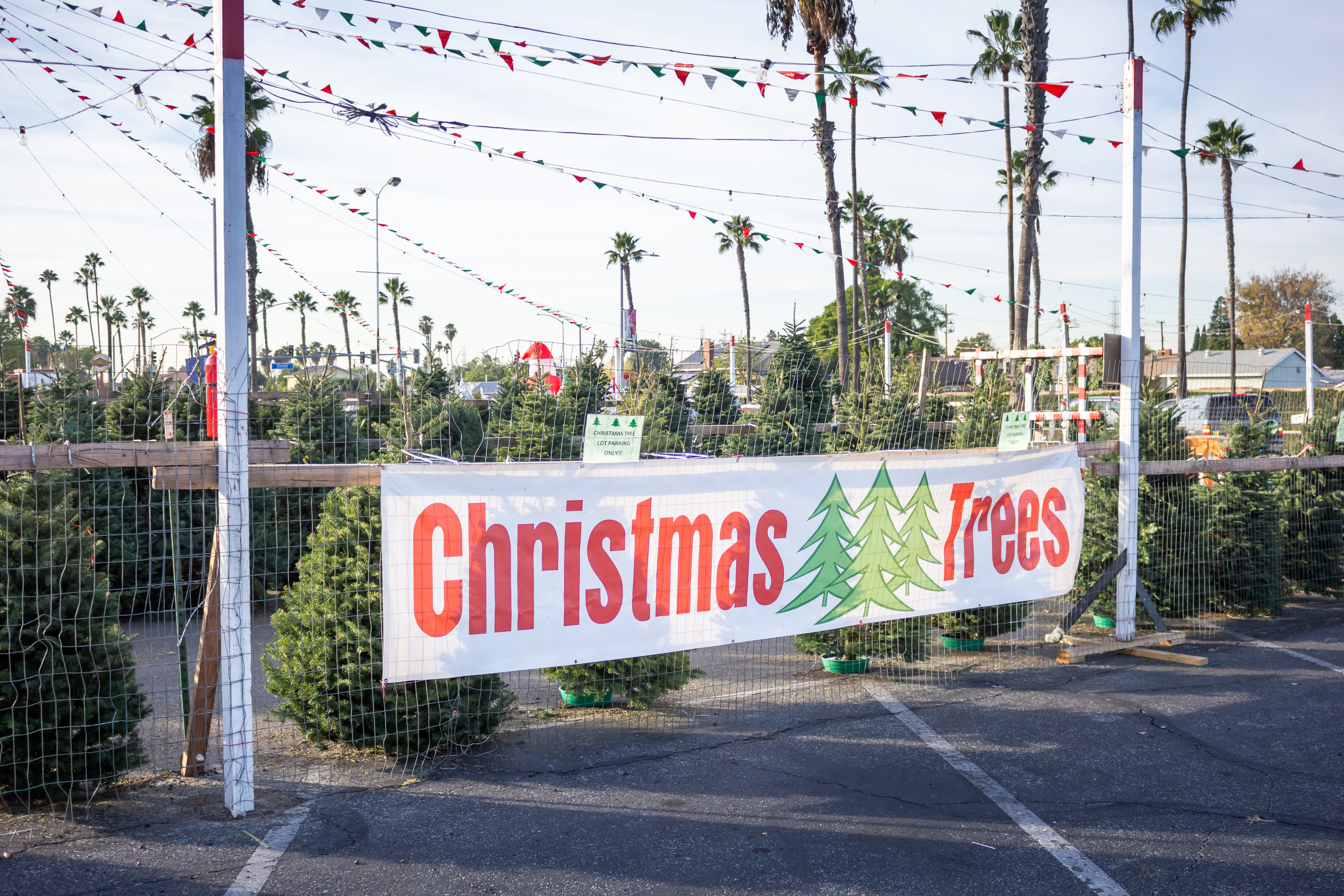 "A sign that says ""Christmas Trees"" in front of a fenced lot with dozens of pine trees"