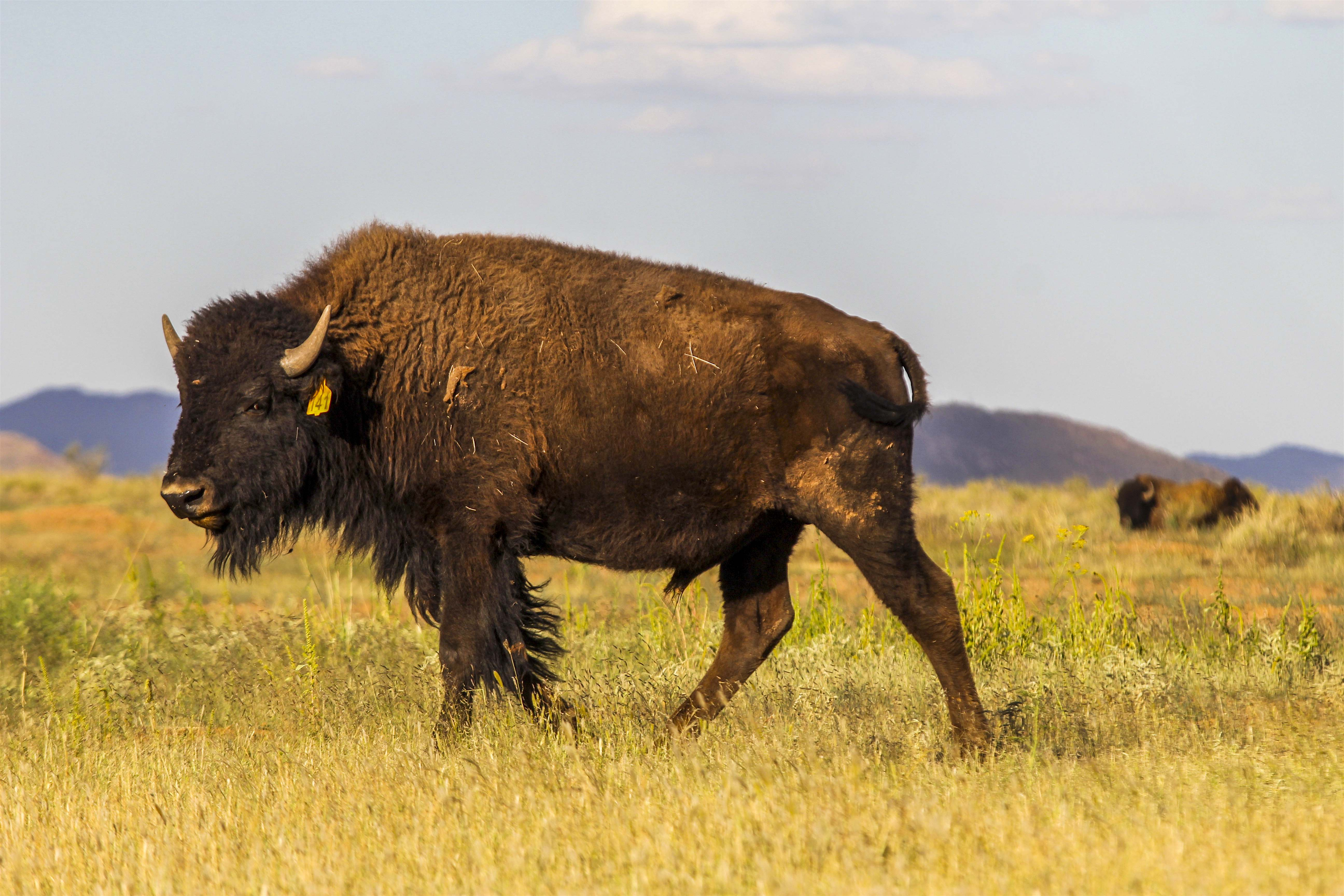 MEXICO-ECOLOGY-BISON