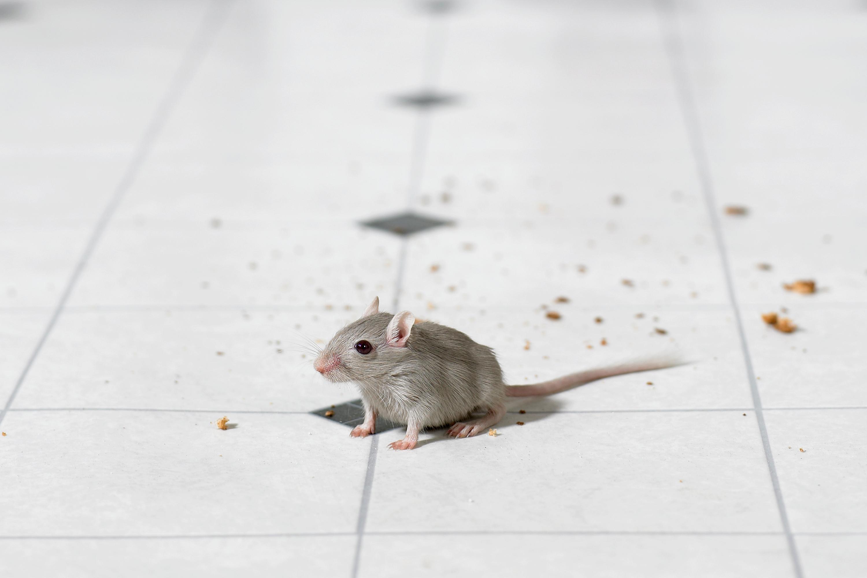 Mouse on kitchen floor.