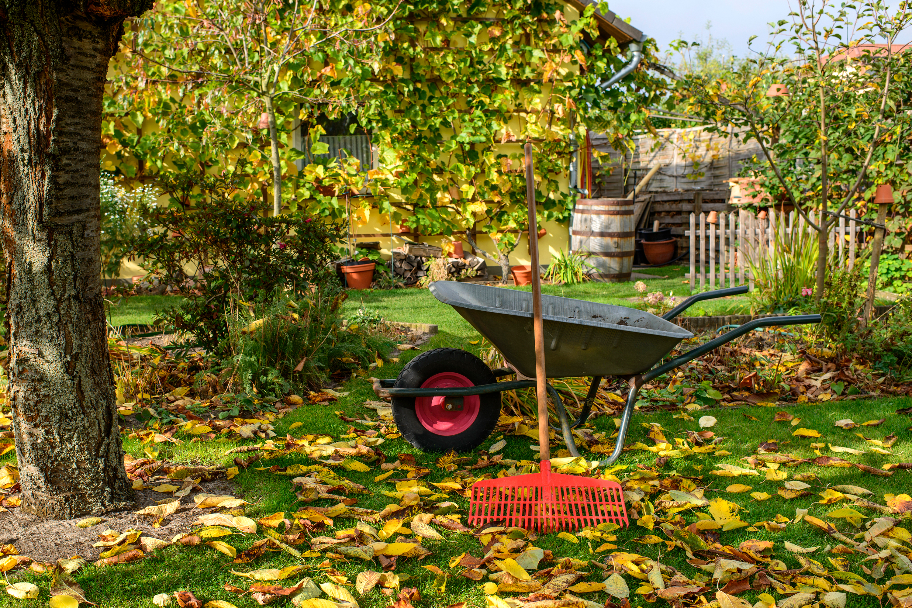 Wheel barrow in lawn with leaves.