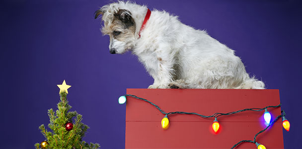 Dog sitting on top of Christmas present looking at small Christmas tree.