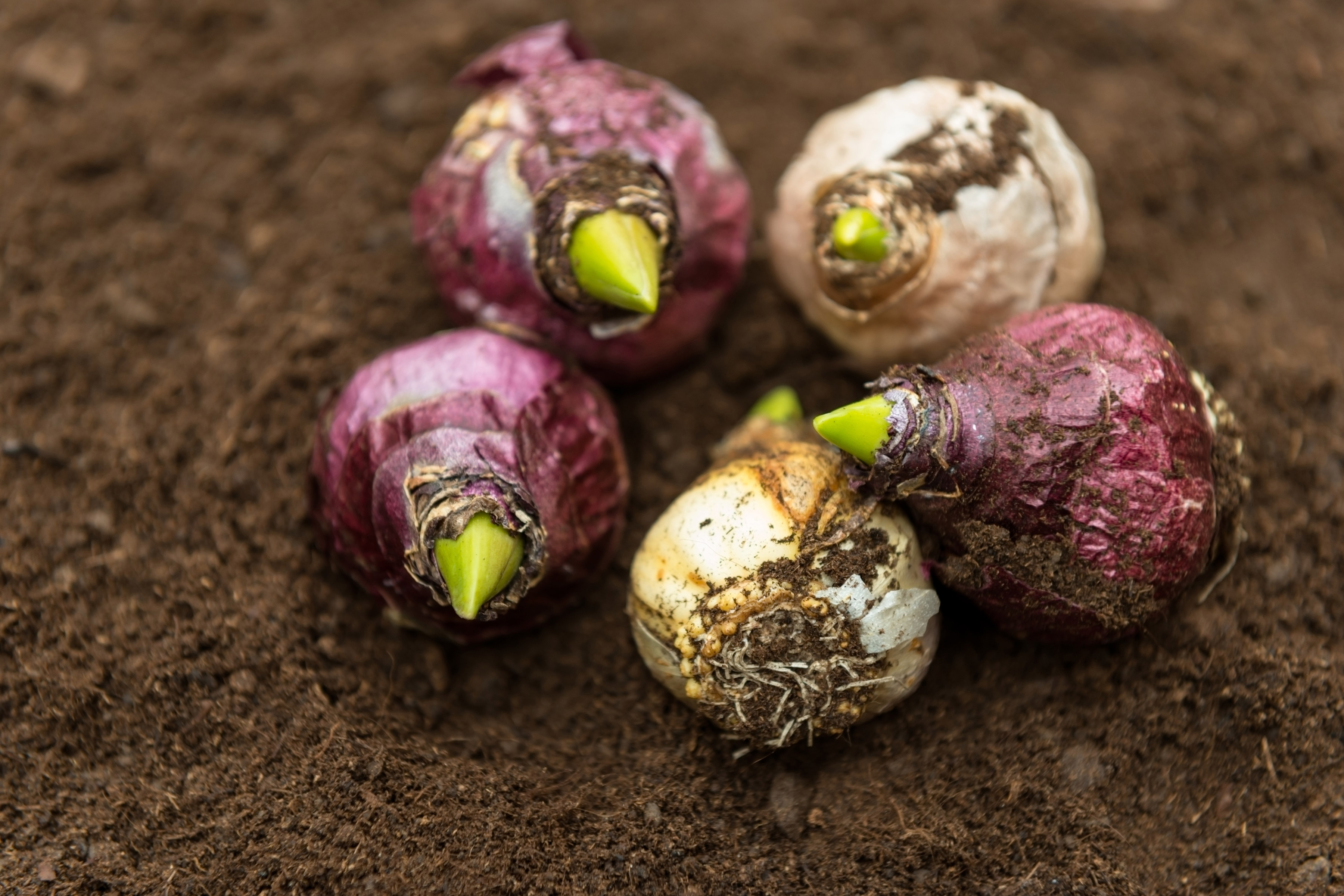 Five plant bulbs with a green root sitting in dirt.