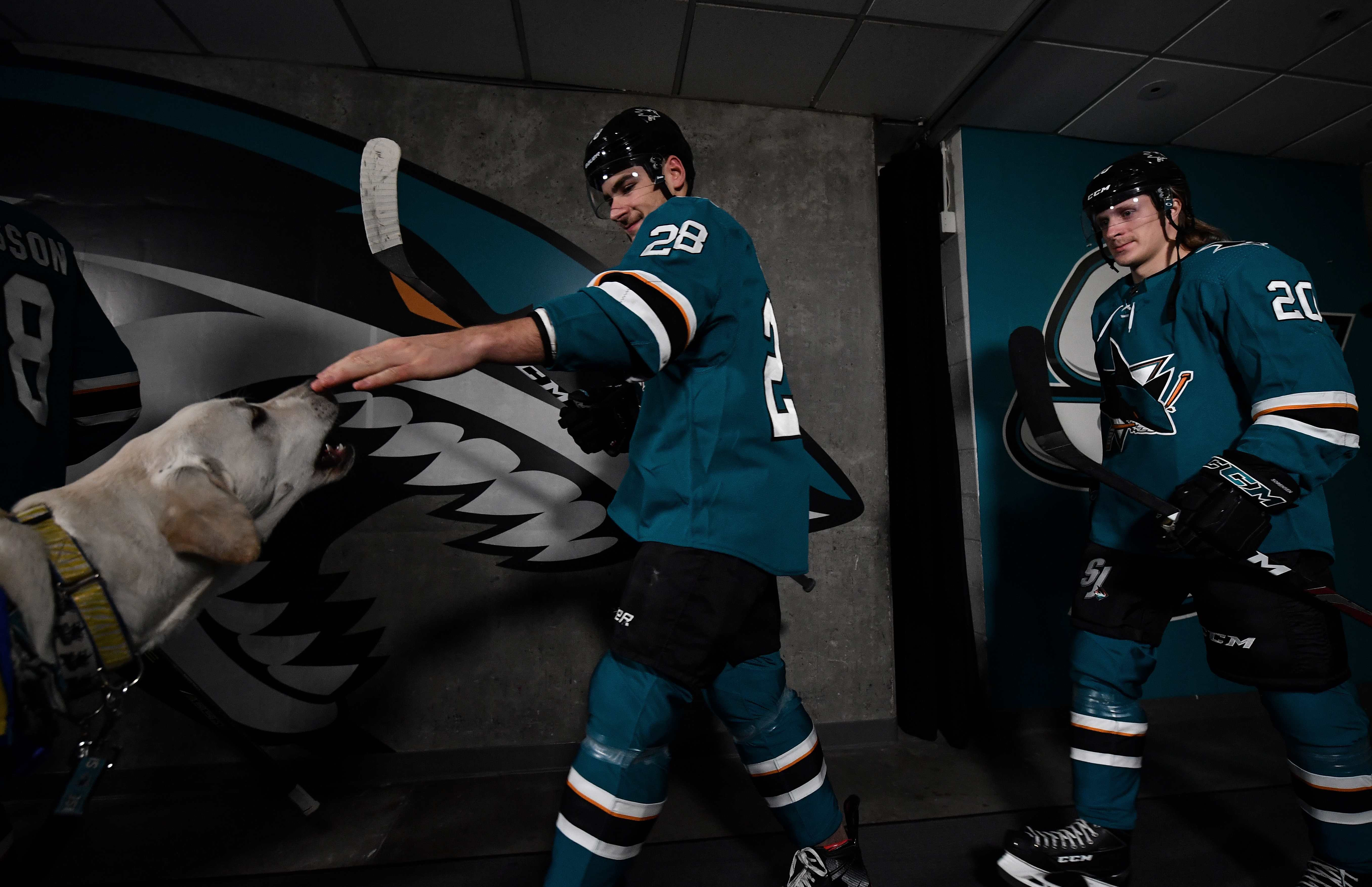 Timo Meier #28 of the San Jose Sharks greets the Sharks pup Finn before taking the ice against the Washington Capitals at SAP Center on December 3, 2019 in San Jose, California.