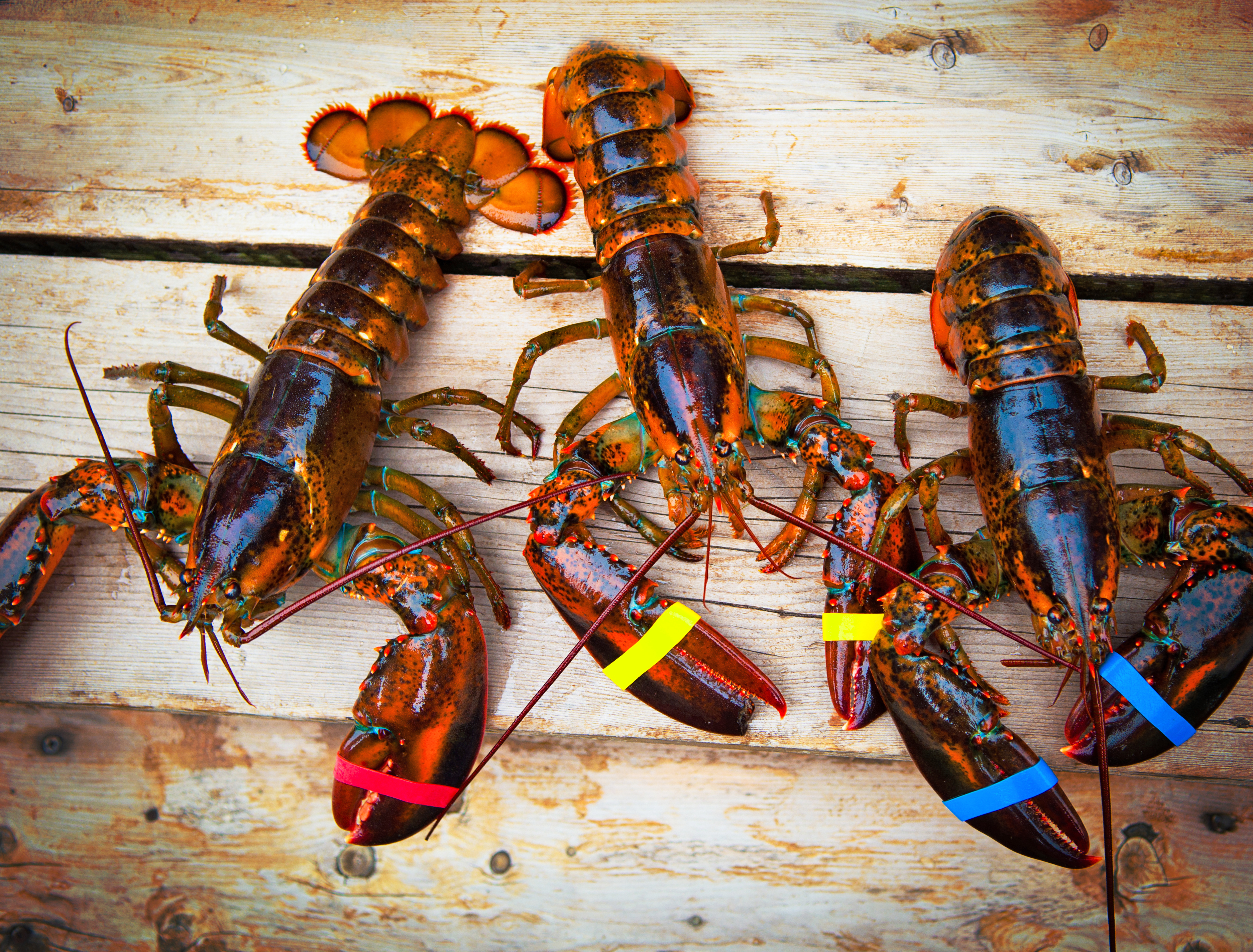 Three fresh lobsters laid out on a wooden surface.