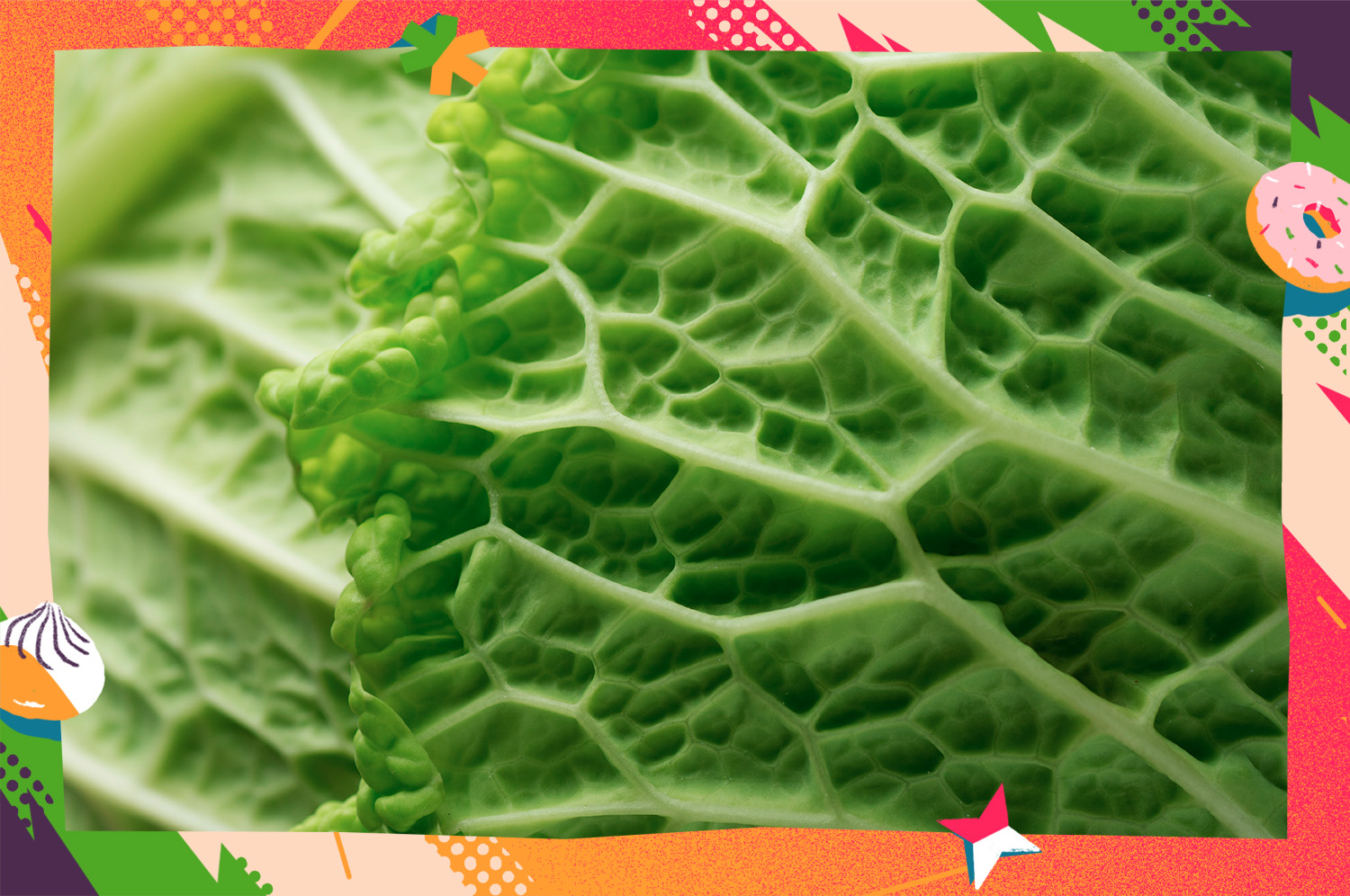 The leaves of savoy cabbage close-up.