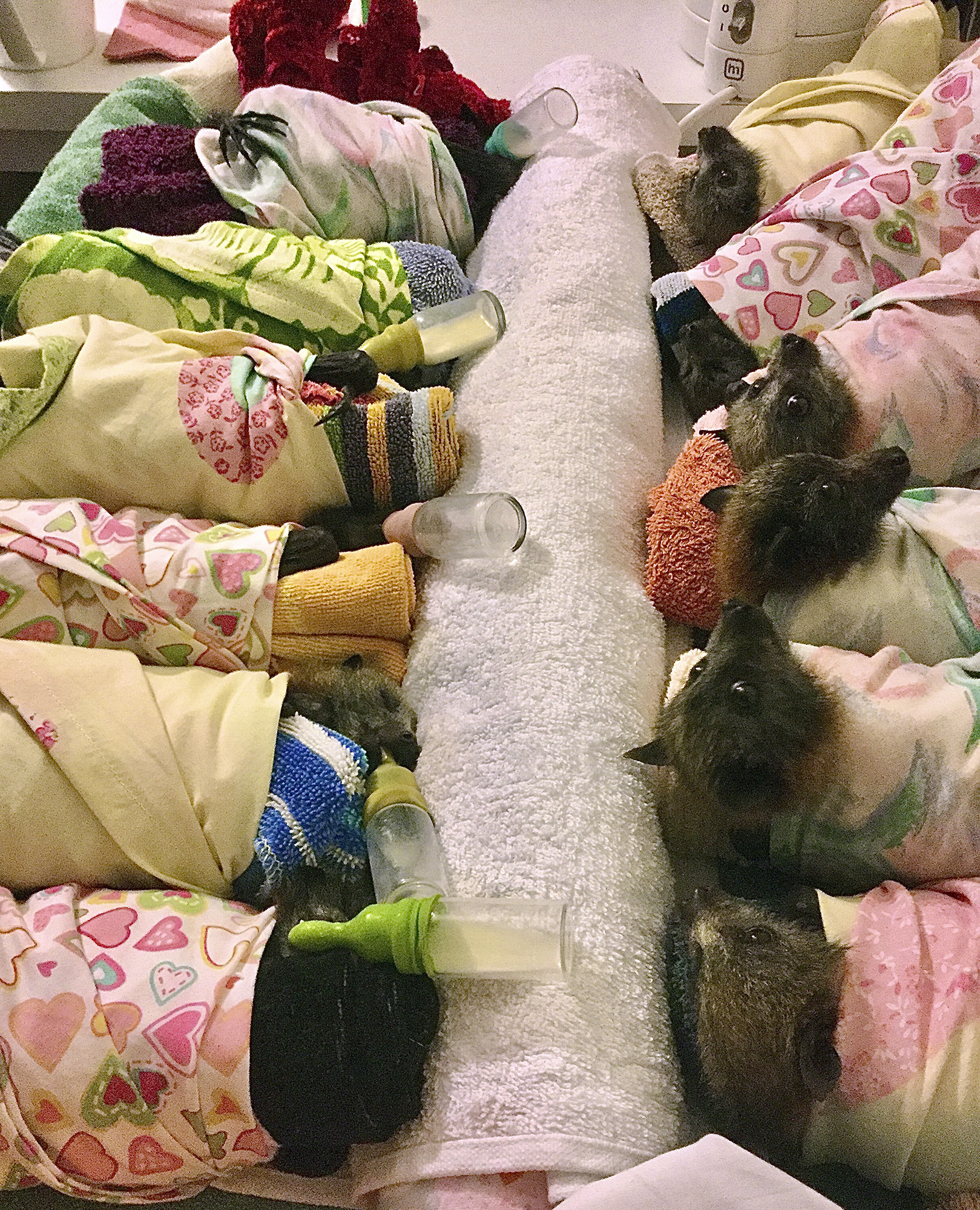Grey-headed Flying Fox bats are prepared for a feeding at the Uralla, Australia. The bats are swaddled in flannel wraps similar to those being made by thousands of crafters worldwide who are using their sewing, knitting and crocheting skills to make items for wildlife injured in the Australian brush fires.