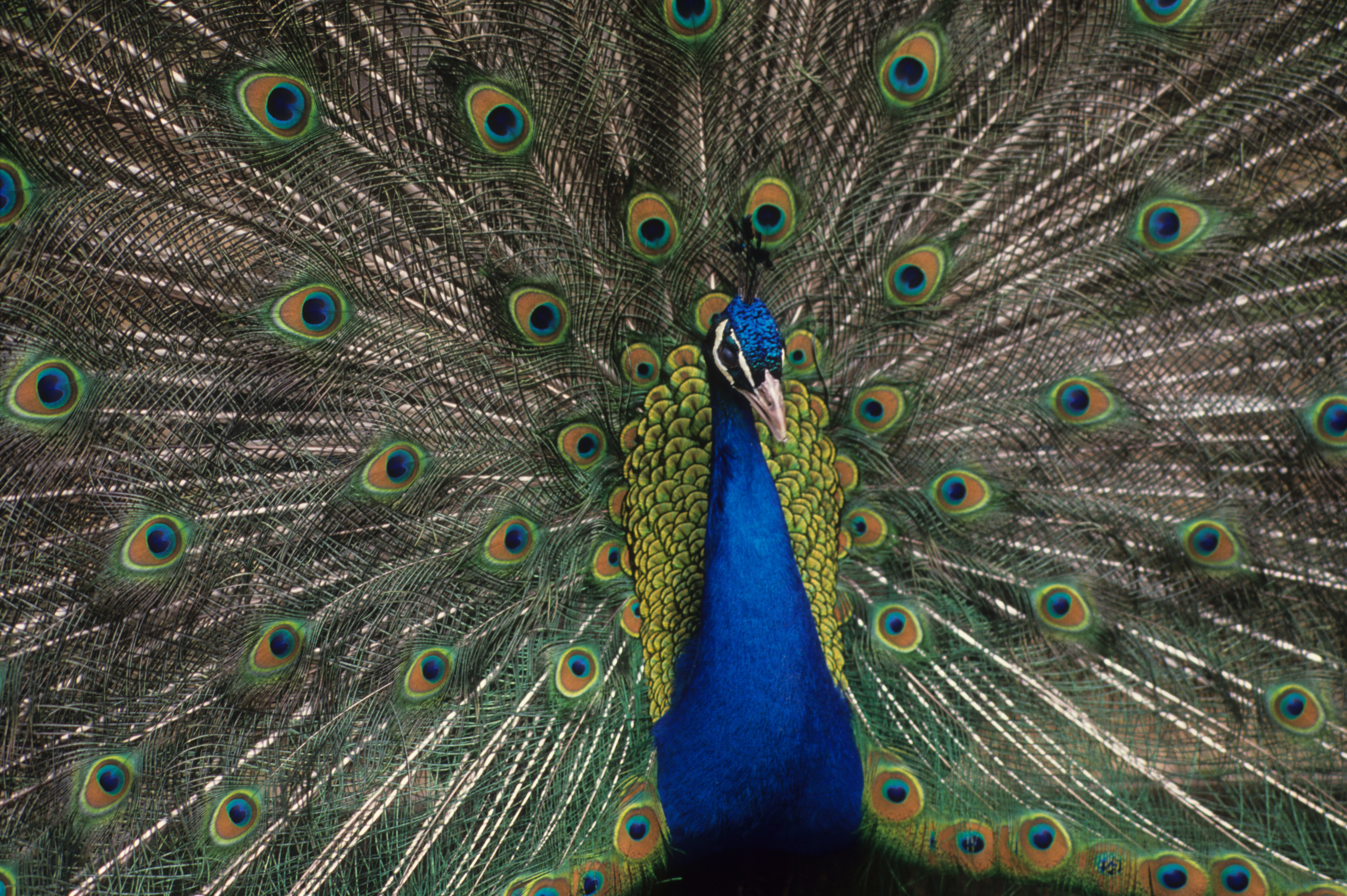 Indian peacock fanning his tail, Lombardy