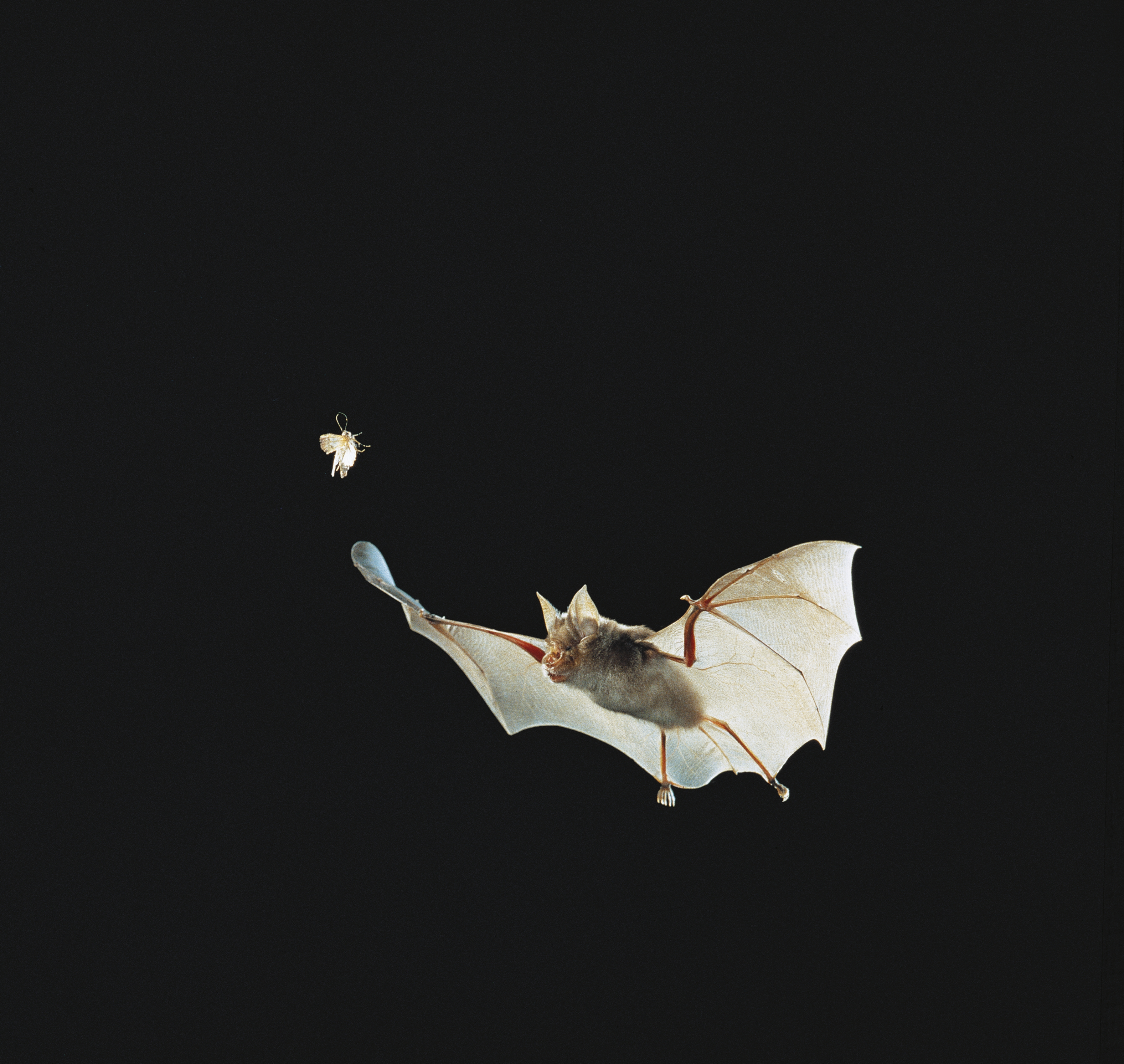A Greater Horseshoe Bat flying in pursuit of an insect.