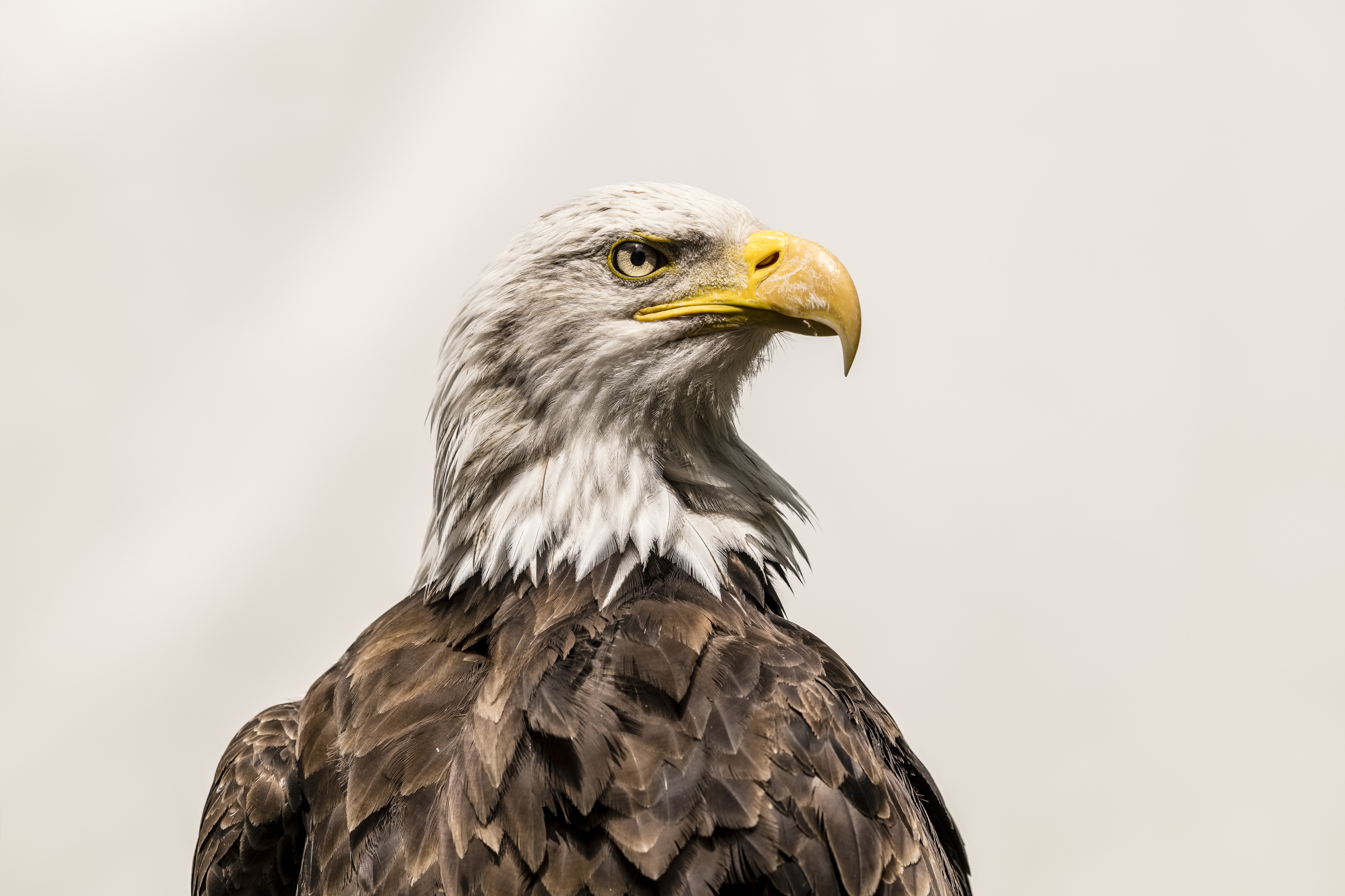 Close-up portrait of a Bald Eagle (Haliaeetus leucocephalus...