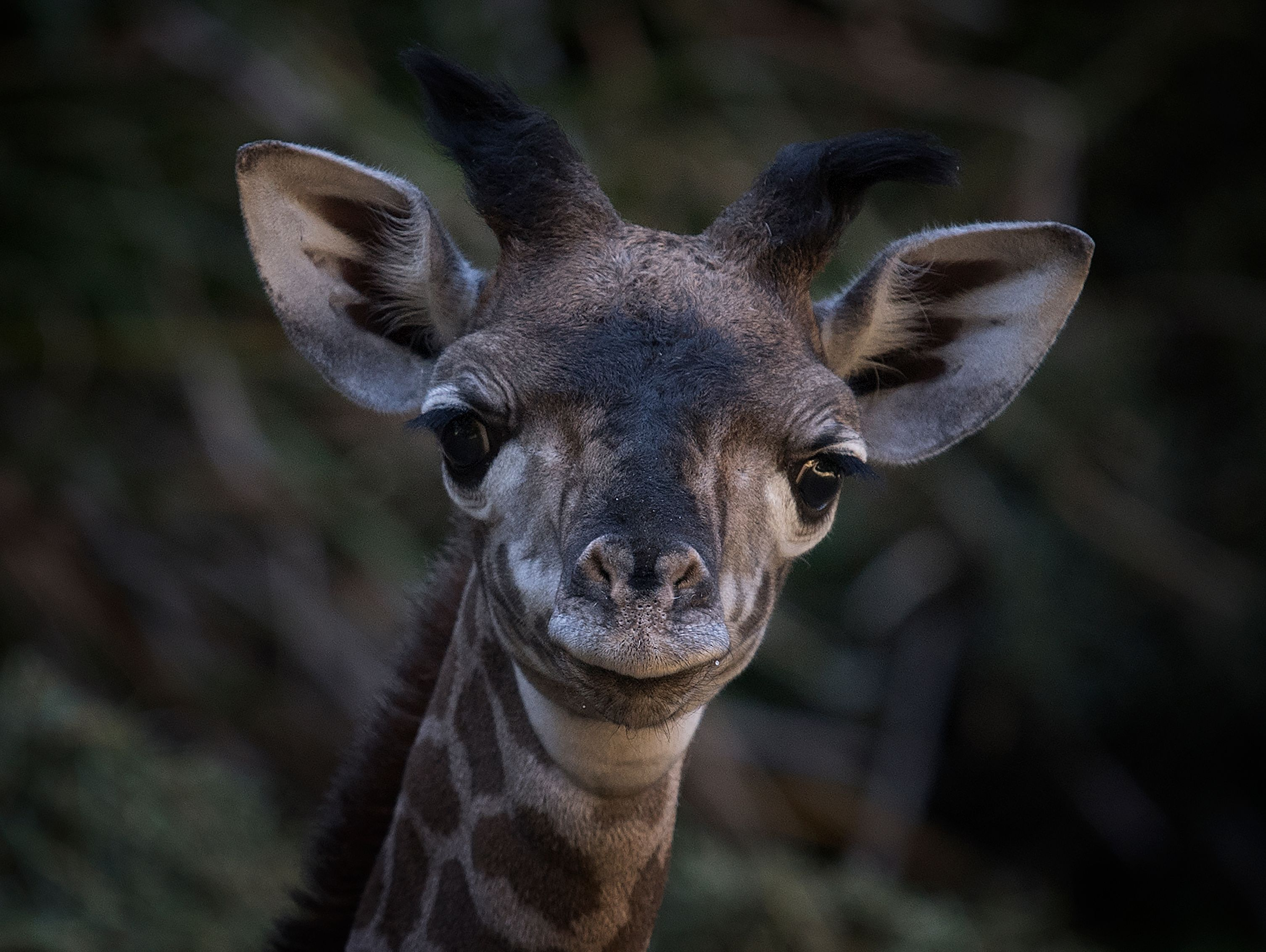 us-animal-zoology-giraffe