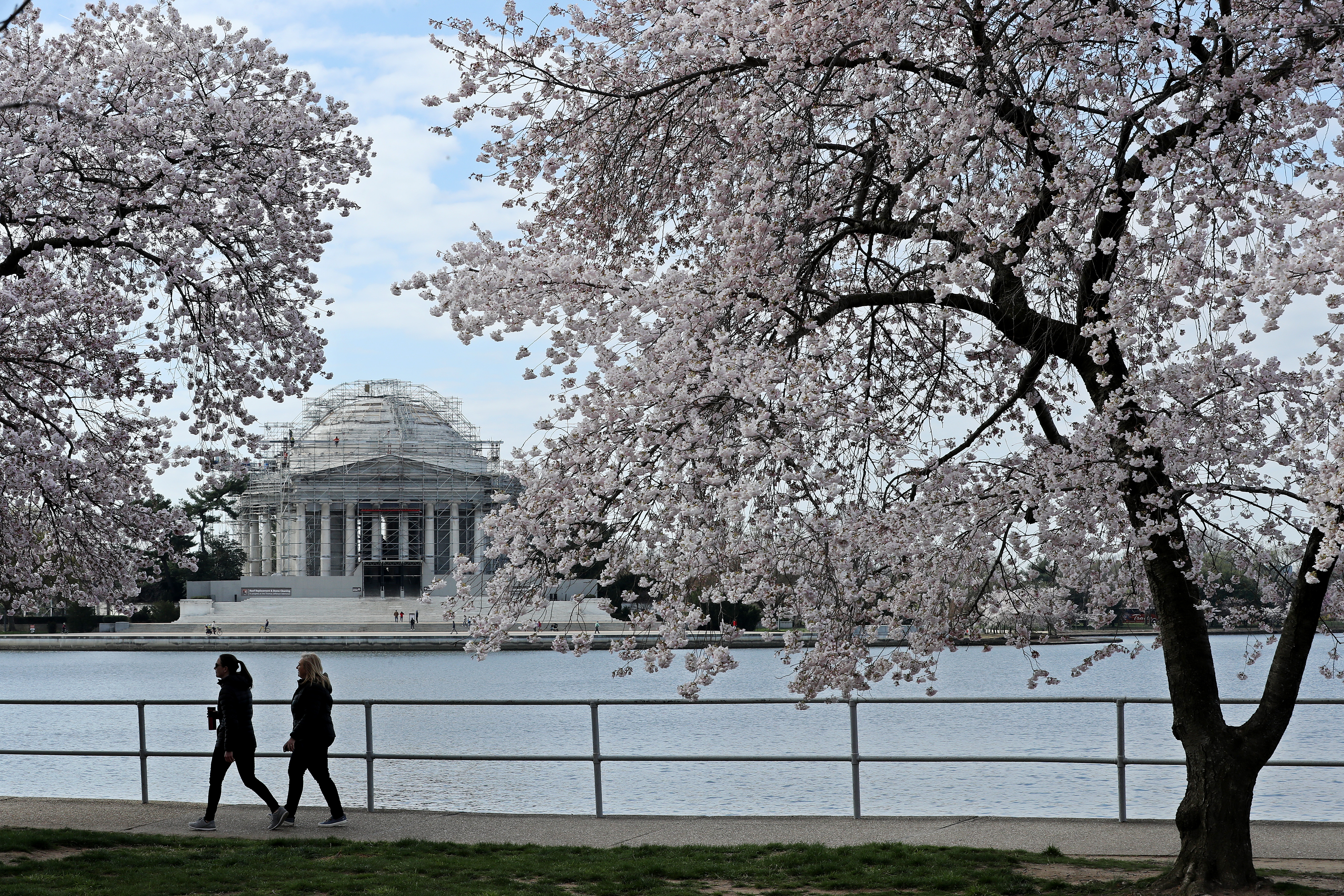 Two people walk along the water of the Tidal Basin in Washington, DC using a path under the blossoms of pastel pink cherry trees