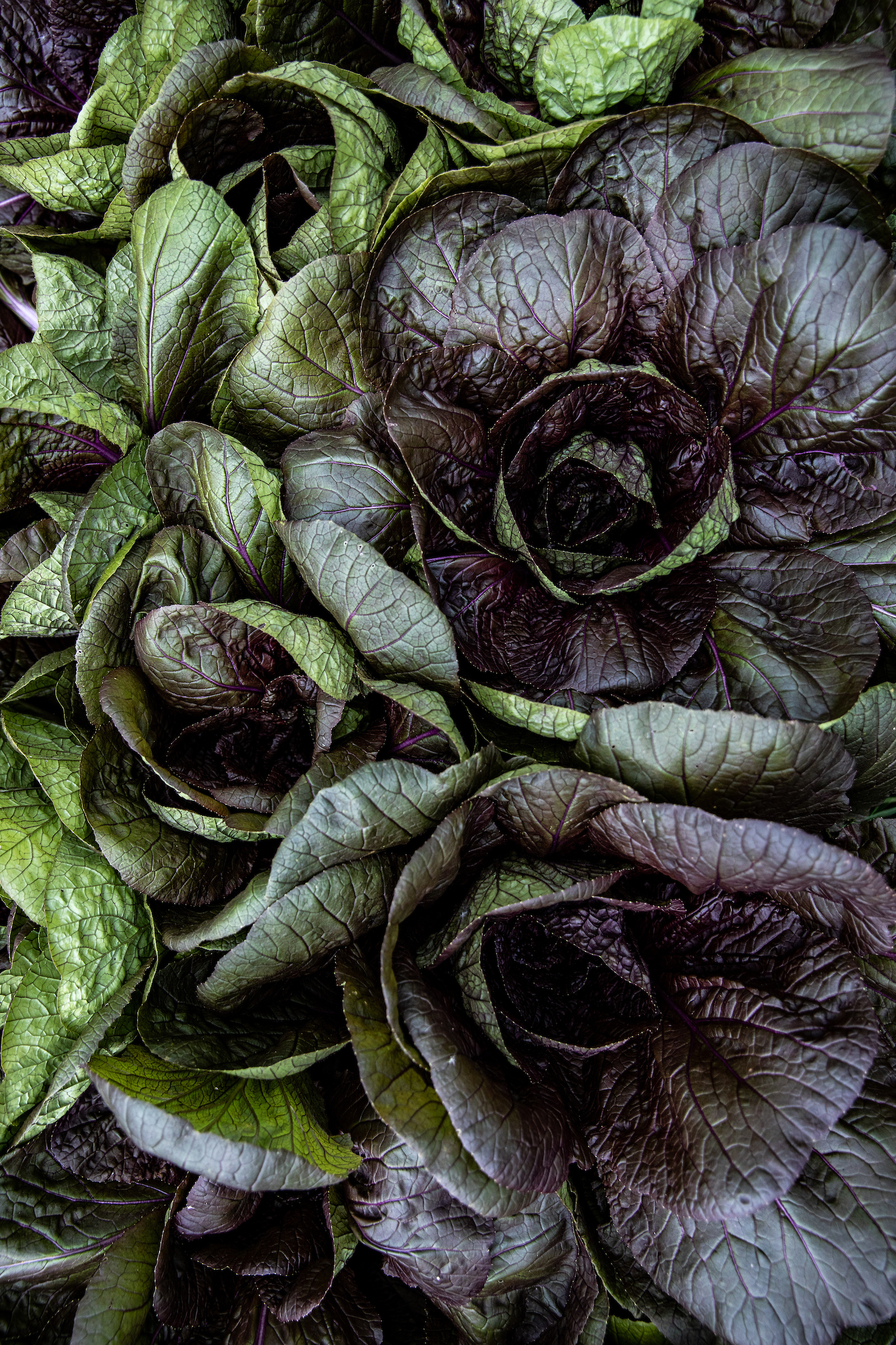 Purple lettuce tightly packed together in a garden plot.