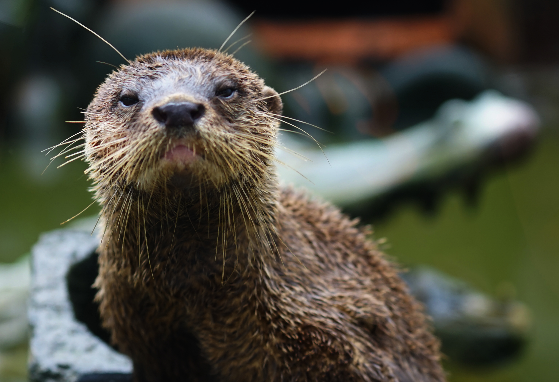 Sumatra otters