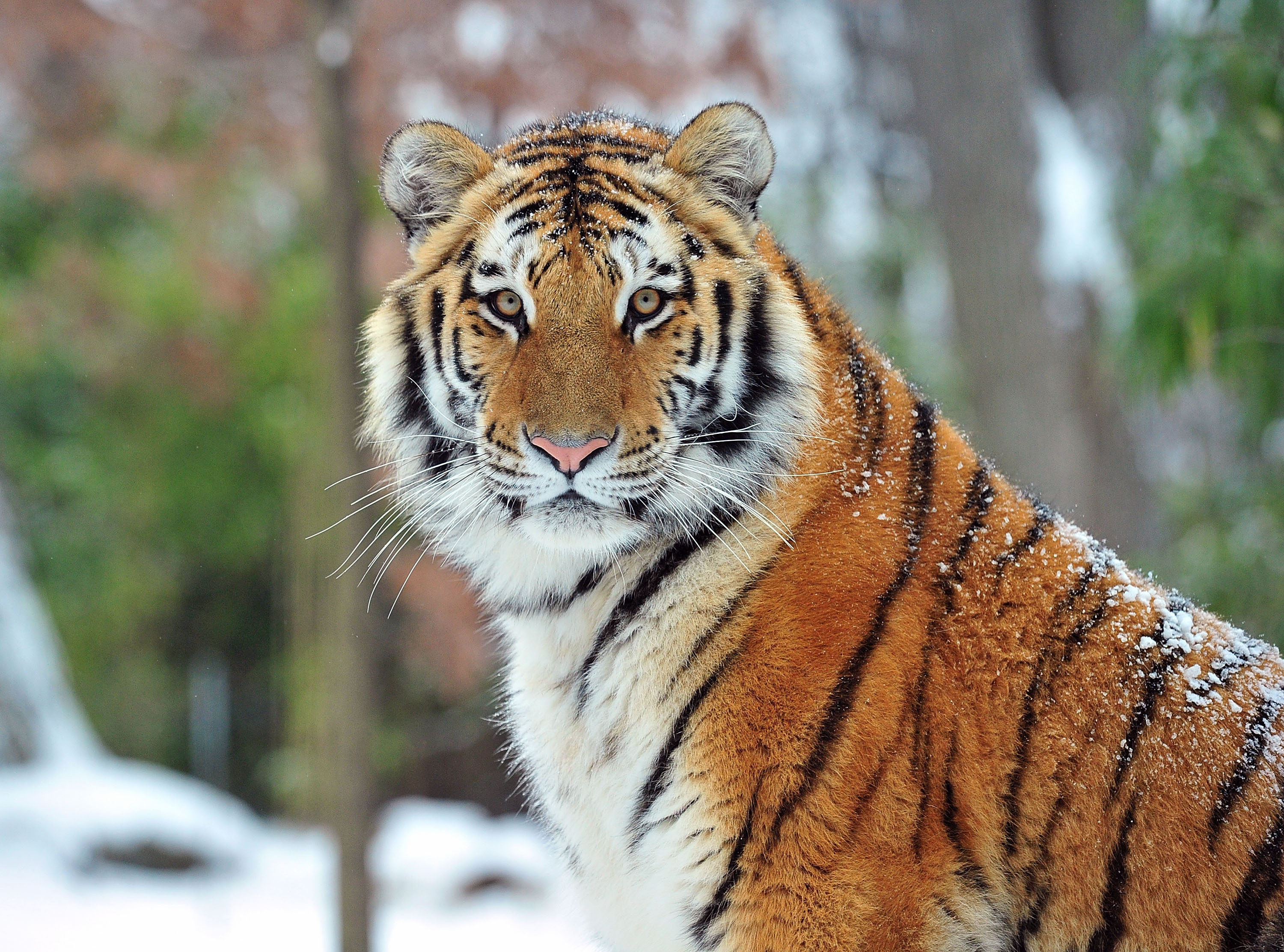 An orange and black tiger looks directly at the camera, its face in the center of the frame. Its pelt is lightly coated with snow; trees and plants are softly blurred in the background.