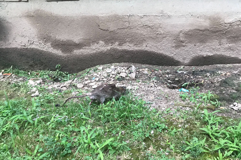 Washington Houses Rats