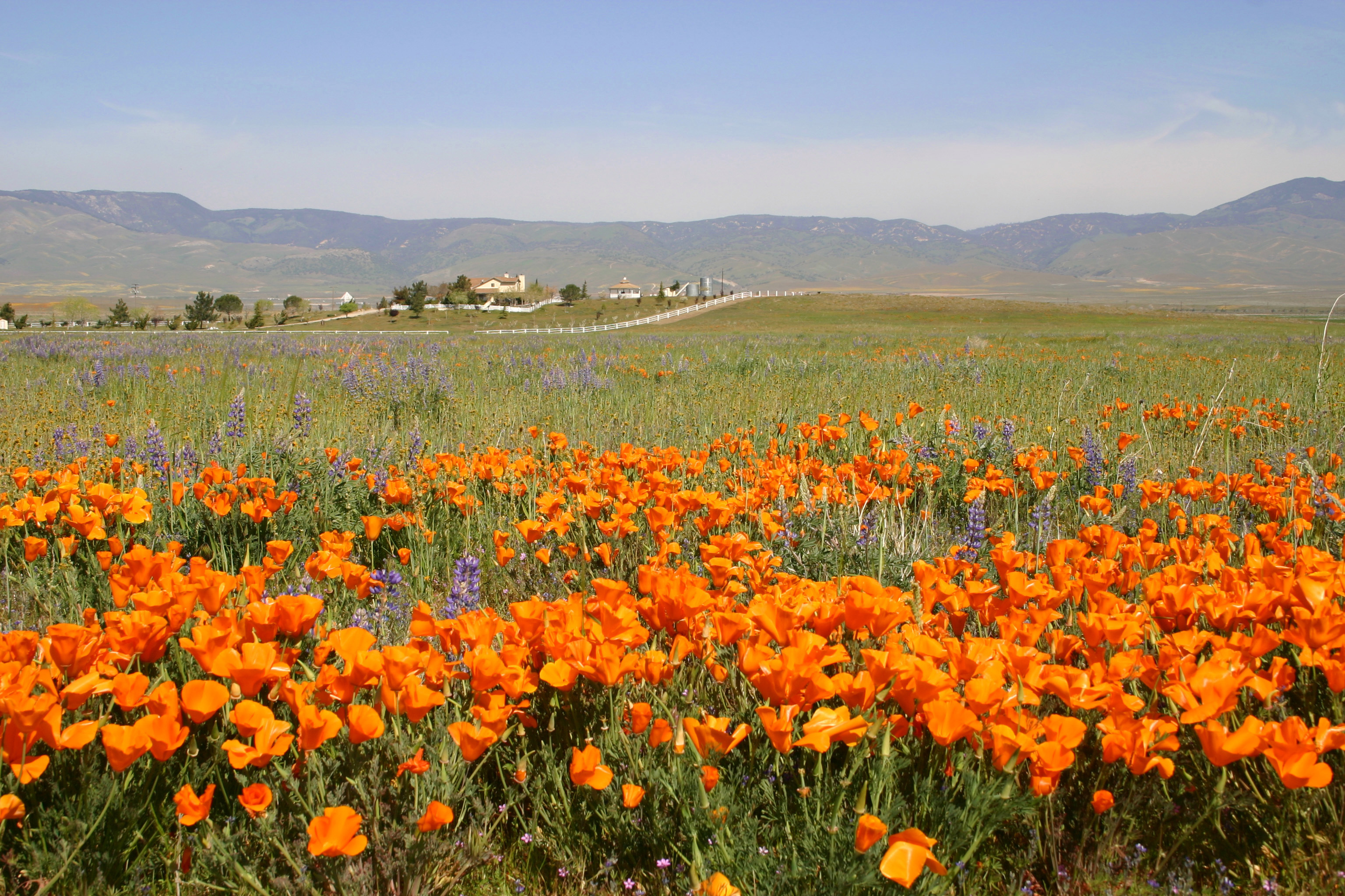 A photo of poppies in bloom at the reserve.