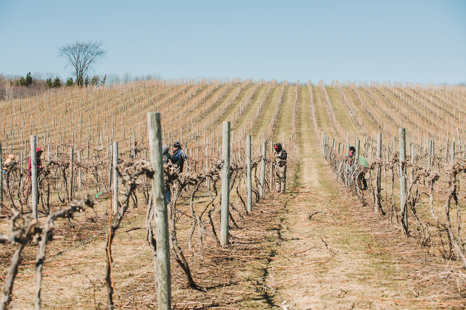 Leelanau County grape vines are pruned in April of 2019.
