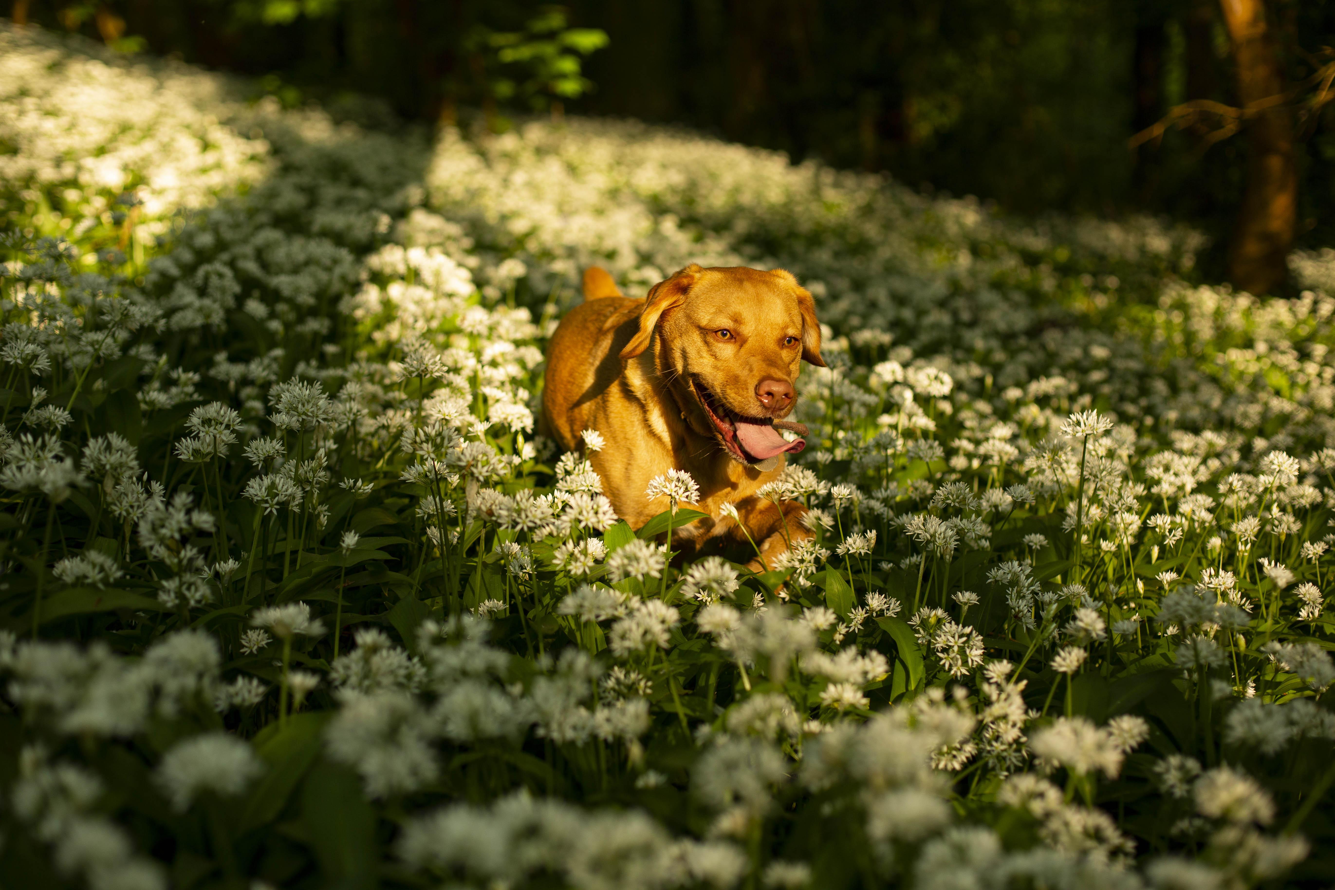 UK weather: Dog walks through wild garlic woodland