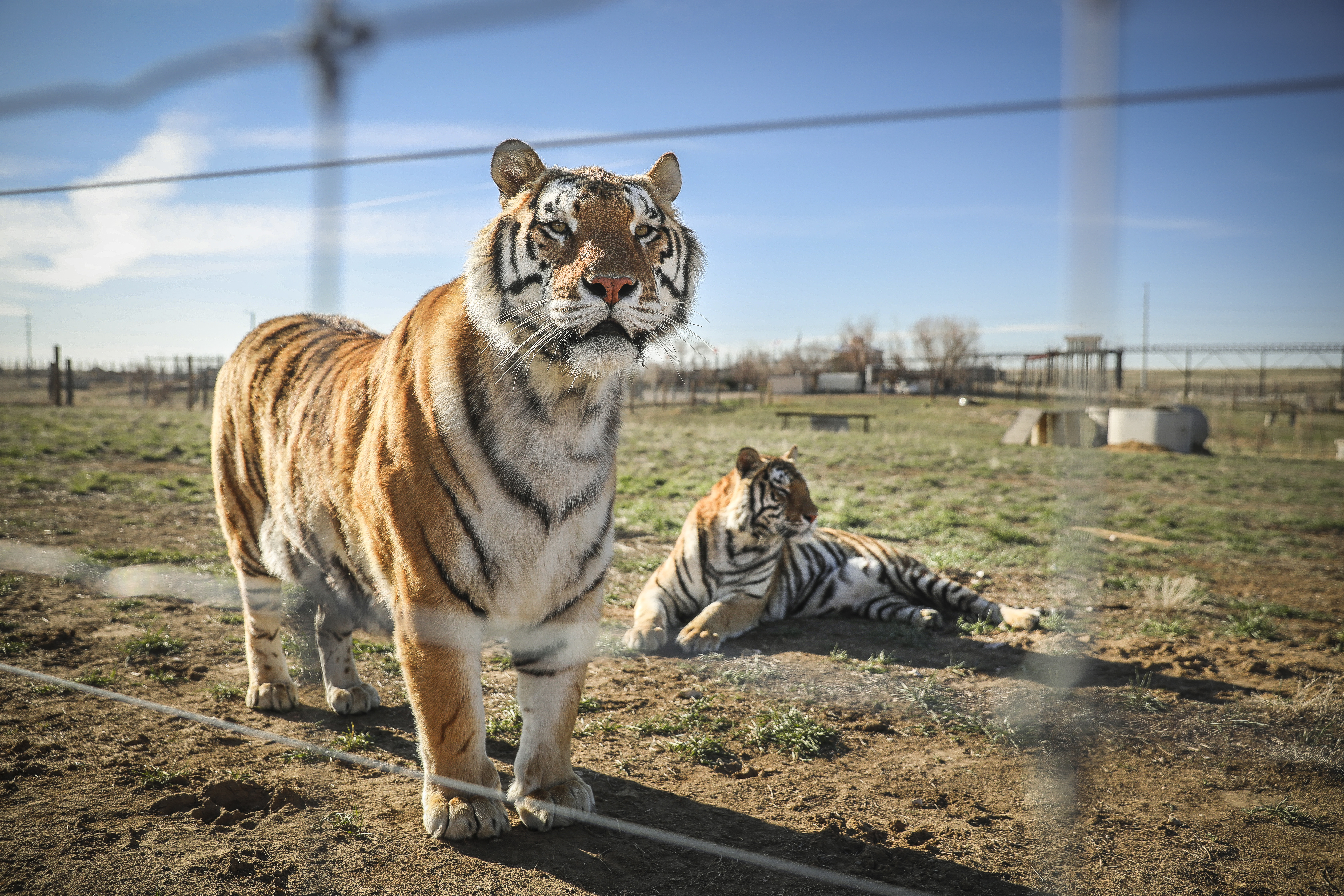 """Wild Animal Sanctuary In Colorado Home To Almost 40 Tigers From Wildly Popular Documentary Of Joe Exotic """"Tiger King"""""""