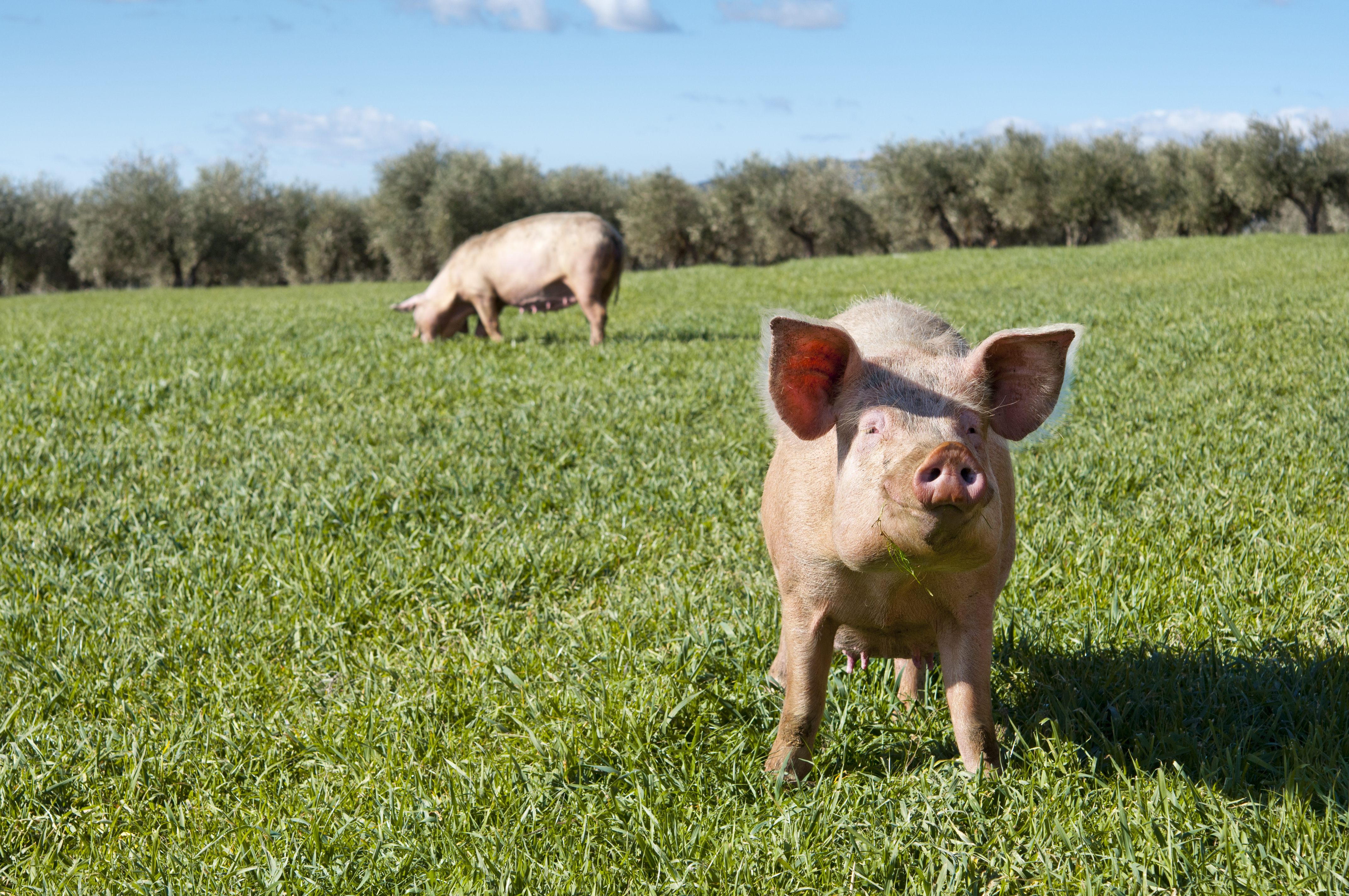 Two pig in a field