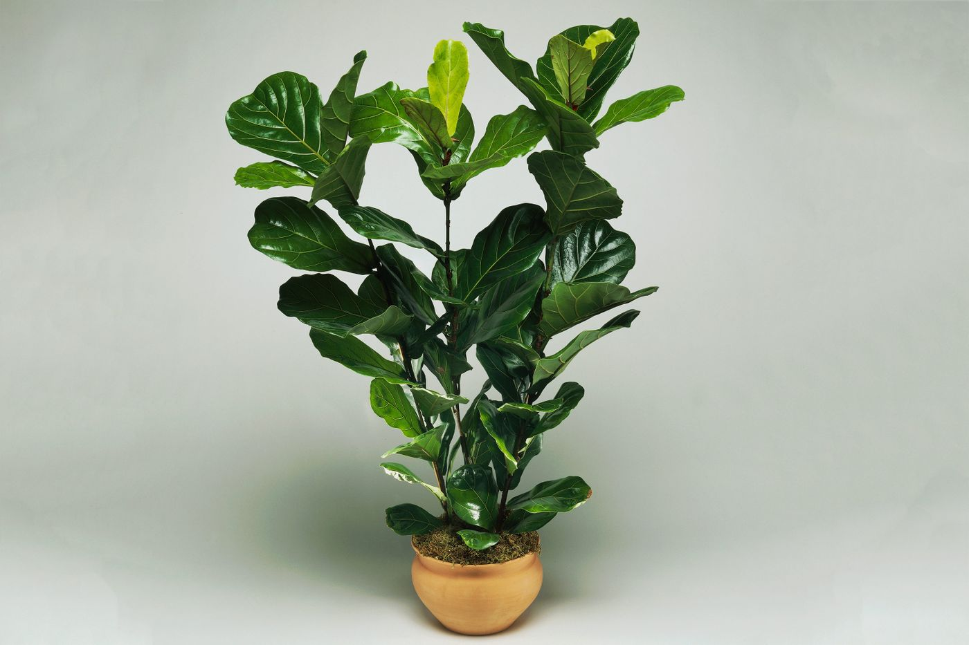 Fiddle-leaf fig plant in a tan pot.