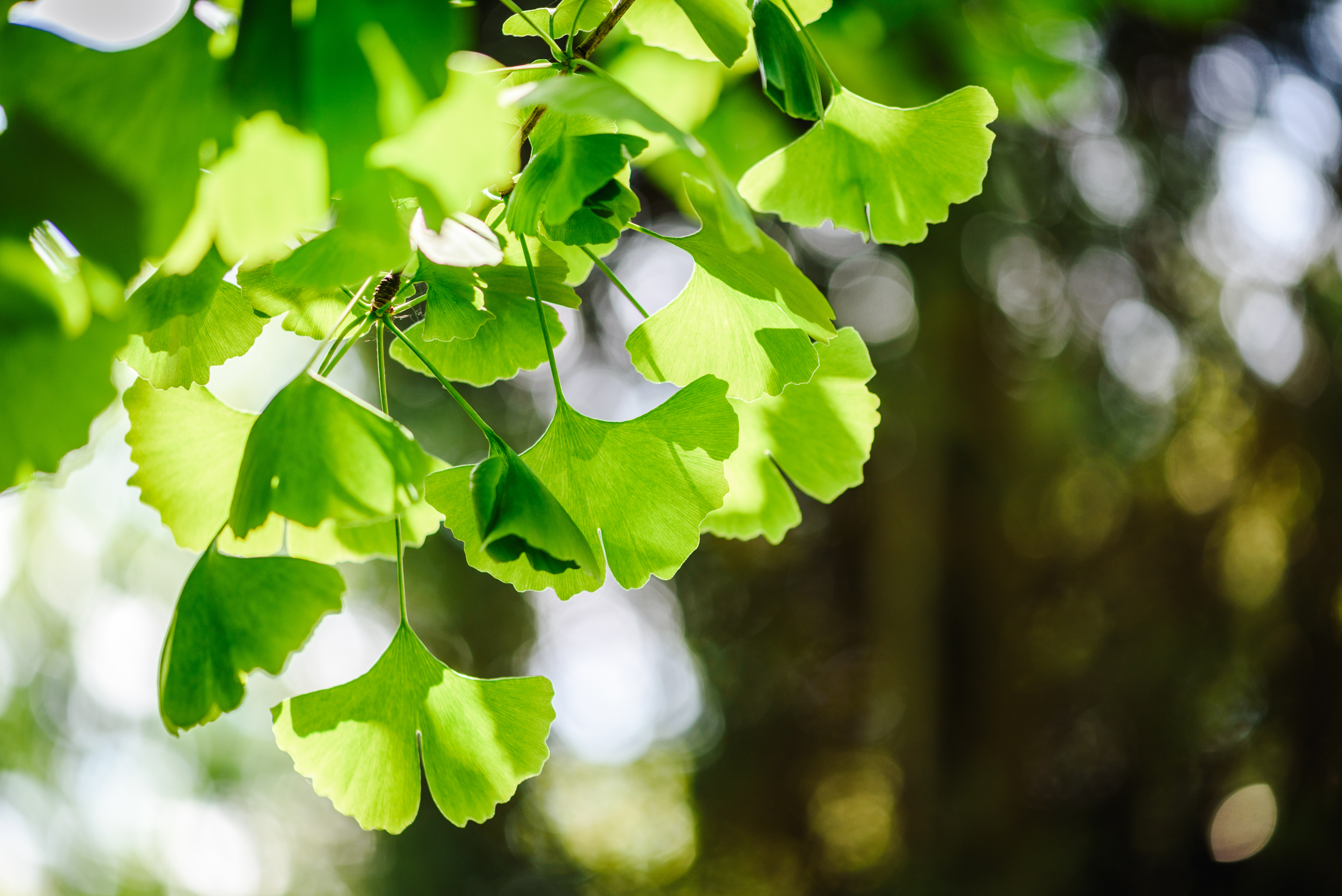 The extracts of ginkgo leaves contain bioactives including flavonoids and terpenoids that are thought to drive health benefits.