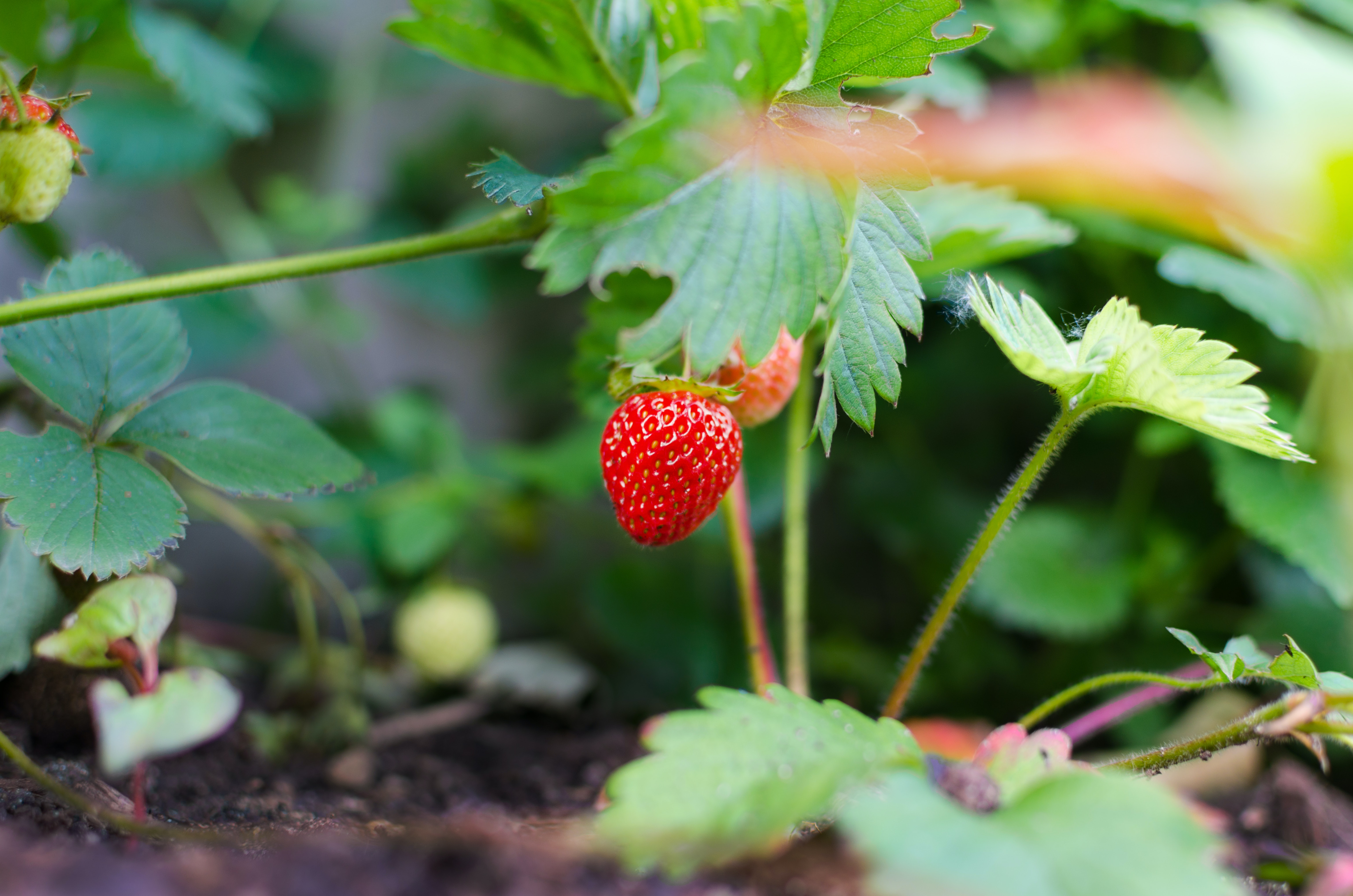 Everbearing Strawberry Plant