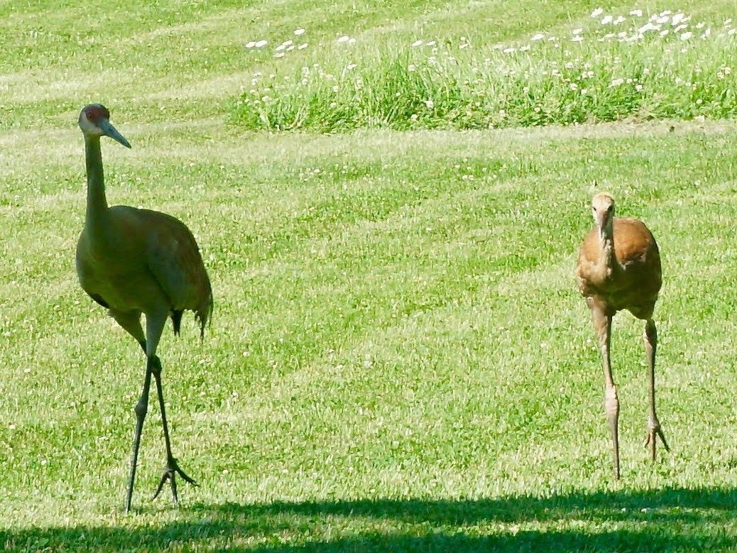 Lynn and Tim Snell had a family of sandhill cranes stroll their yard in Green Oaks this month on multiple mornings. Provided photo