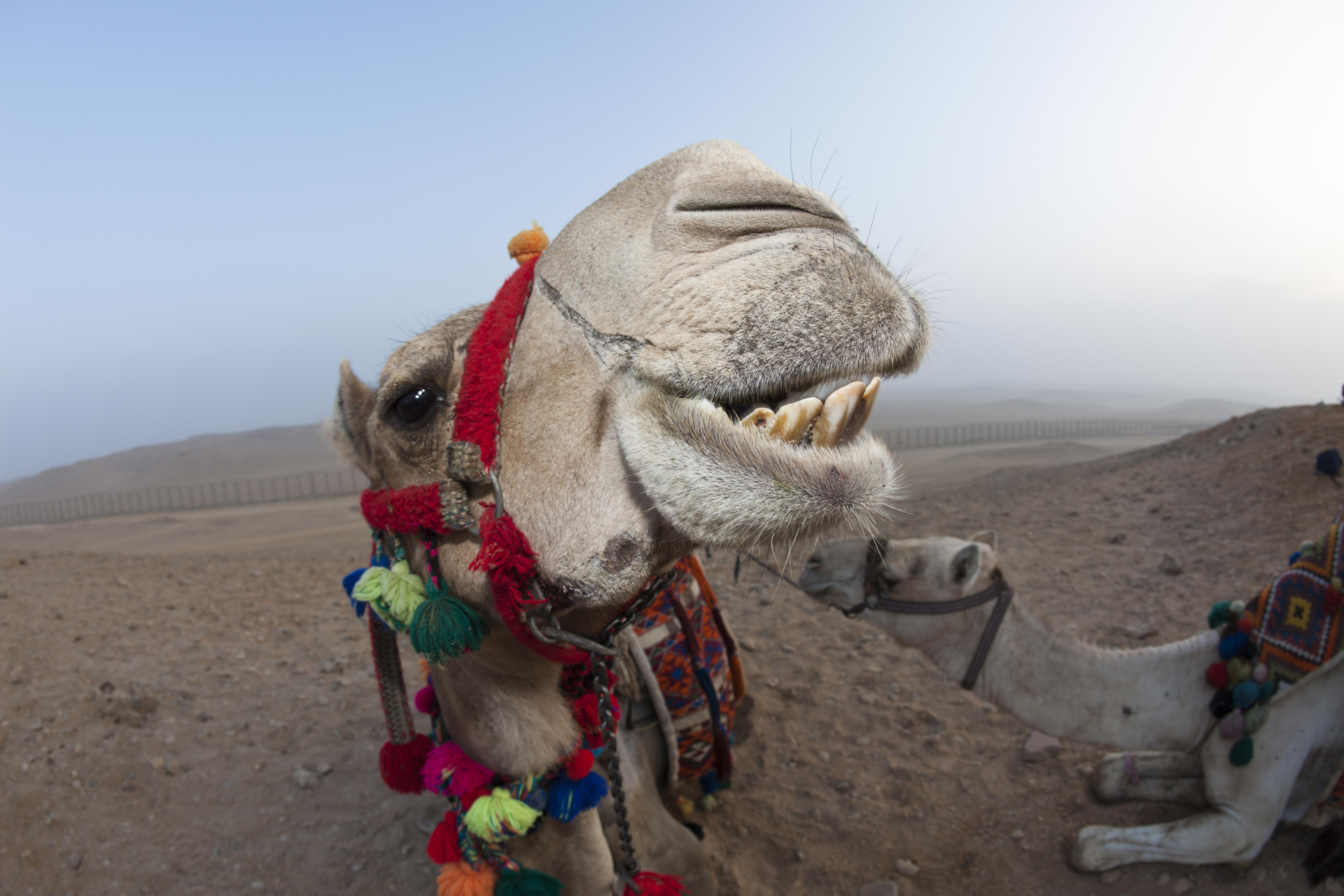 Dromedary, Arabian Camel, Camelus dromedarius, Cairo, Egypt