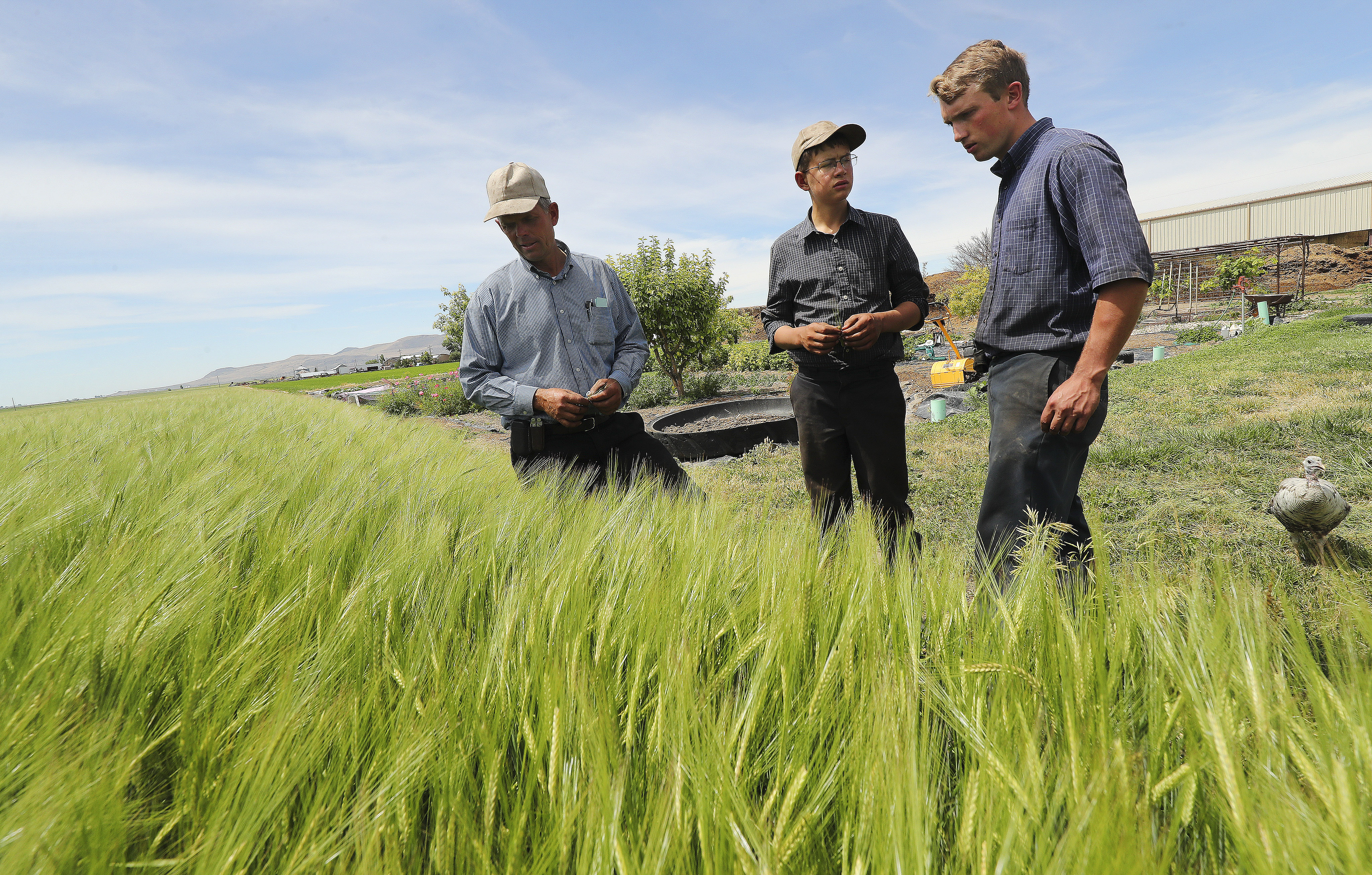 Nathan Hege,bishop of the Northern Utah Mennonite Church, left, look over the barley crop on his farm in Tremonton with son Adrian, center, and son-in-law Lavern Mast on Wednesday, June 24, 2020.