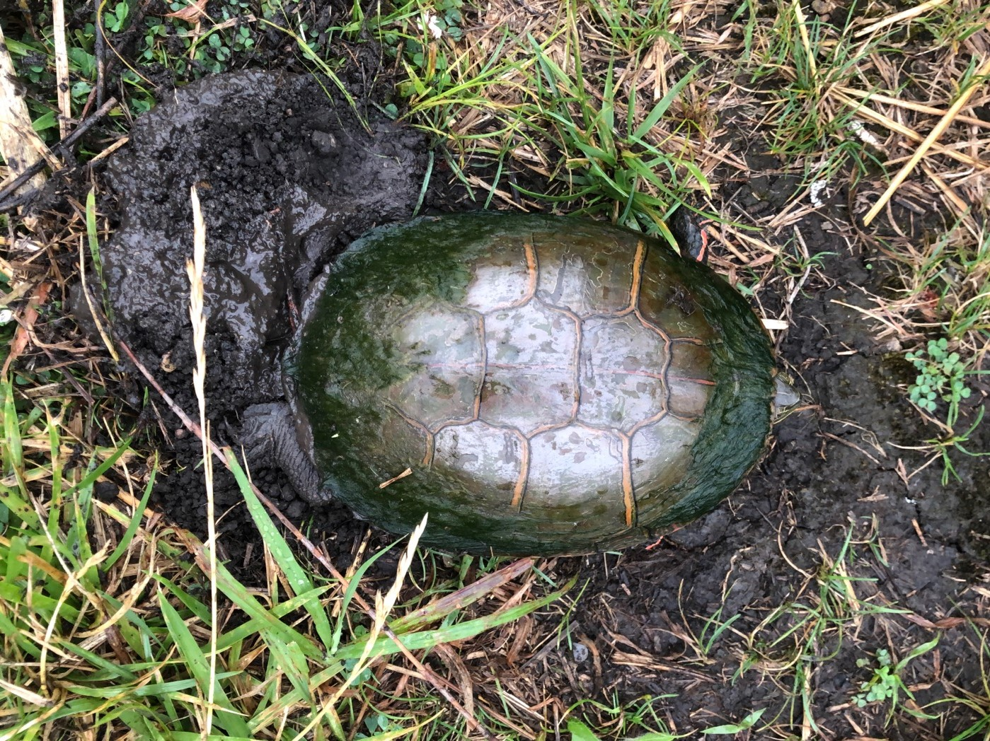 A turtle laying eggs in a west suburban forest preserve, then moving on. Photo provided by Pete Lamar