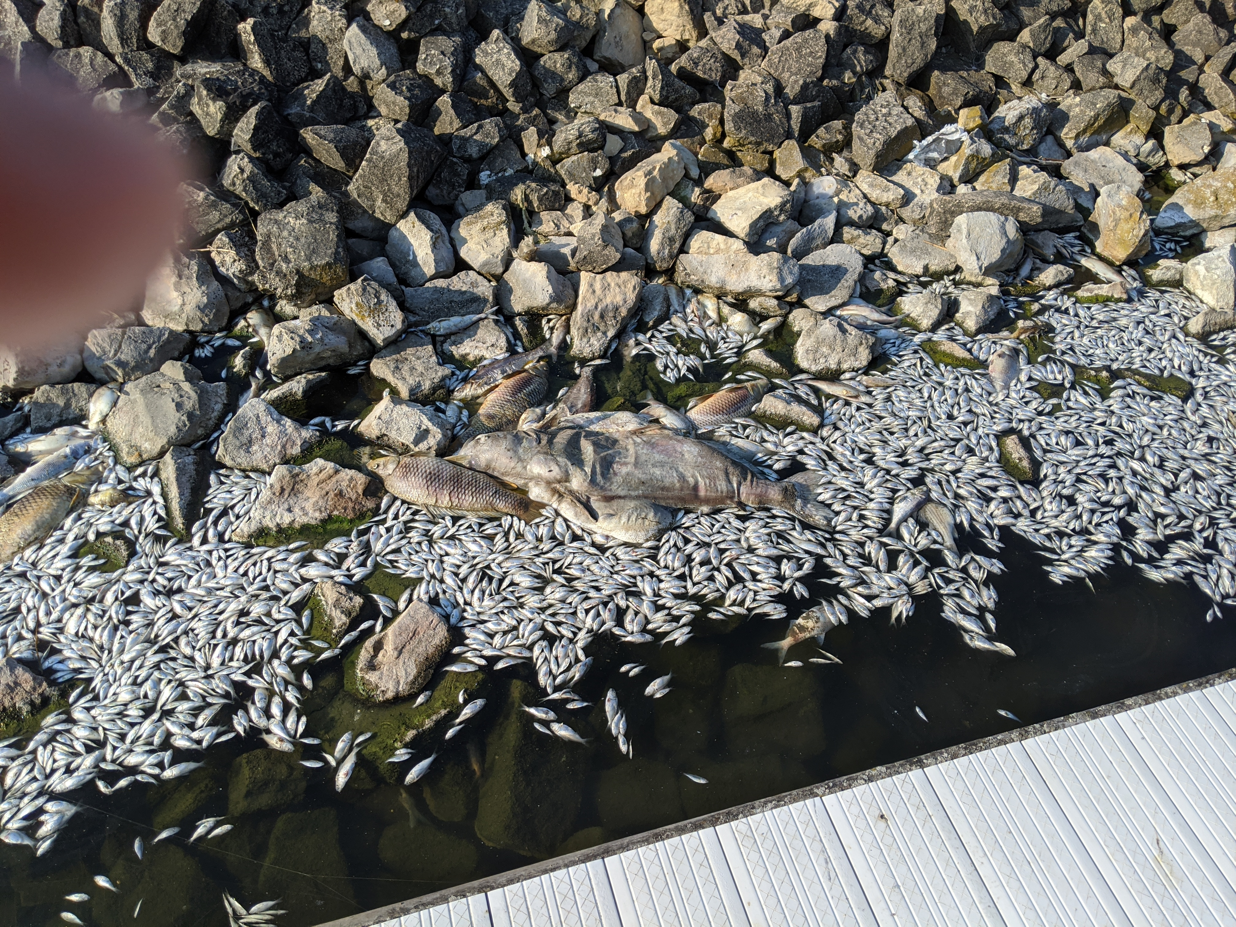 The boat launch area of LaSalle Lake showed the worst of the fish kill Wednesday morning, but a survey showed the rest of the lake was not as impacted. Credit: Dale Bowman