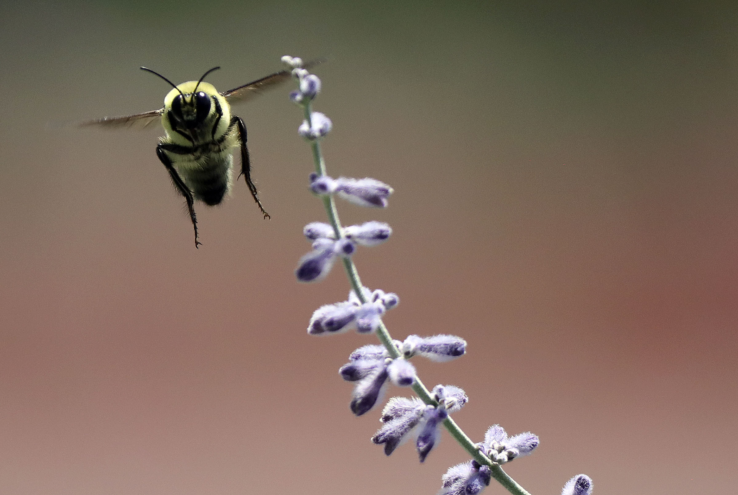 A bumblebee flies near a lavender bush in the International Peace Gardens in Salt Lake City on Friday, July 17, 2020.
