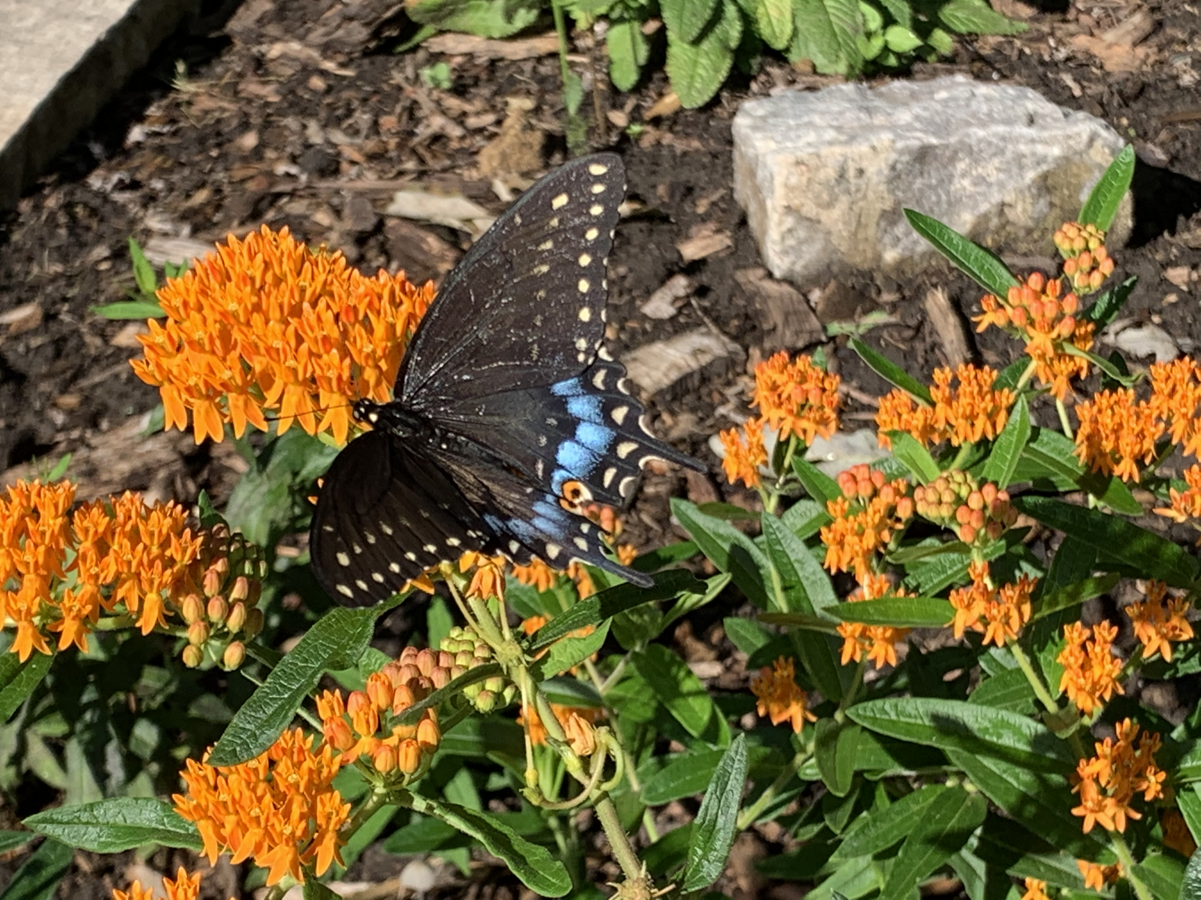 A tiger swallowtail feeding on orange butterfly weed. Credit: Ed Marshall