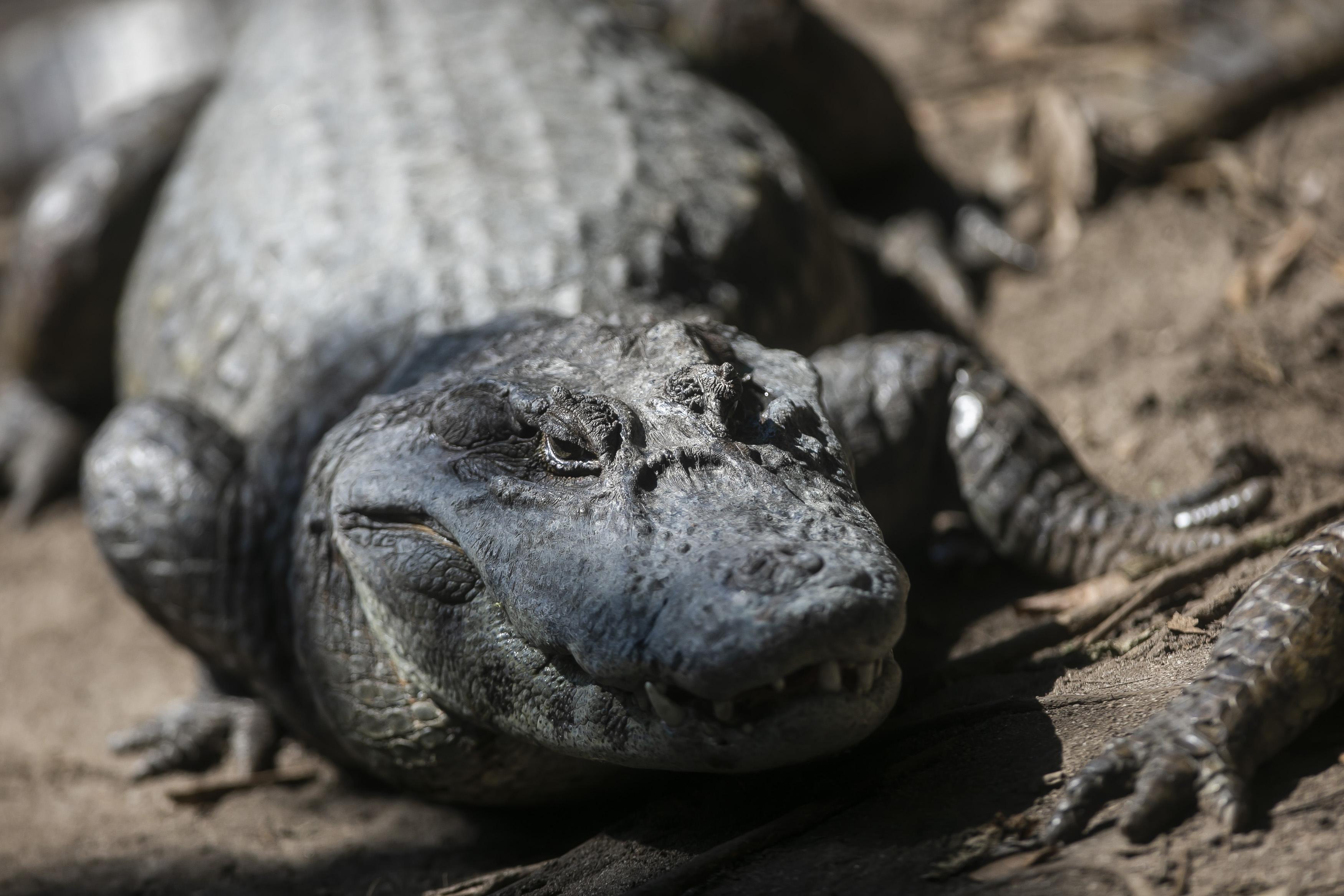 Alligators Are Seen at Canal das Tachas Amidst the Coronavirus (COVID - 19) Pandemic