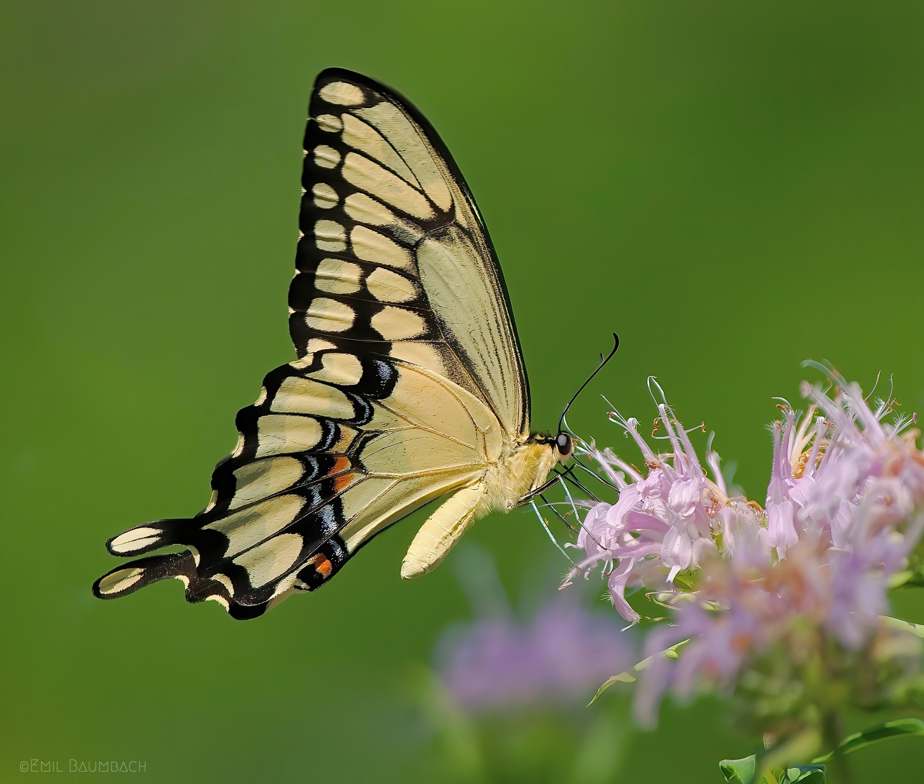 A giant swallowtail photographed at the Cook County forest preserve. Credit: Emil Baumbach