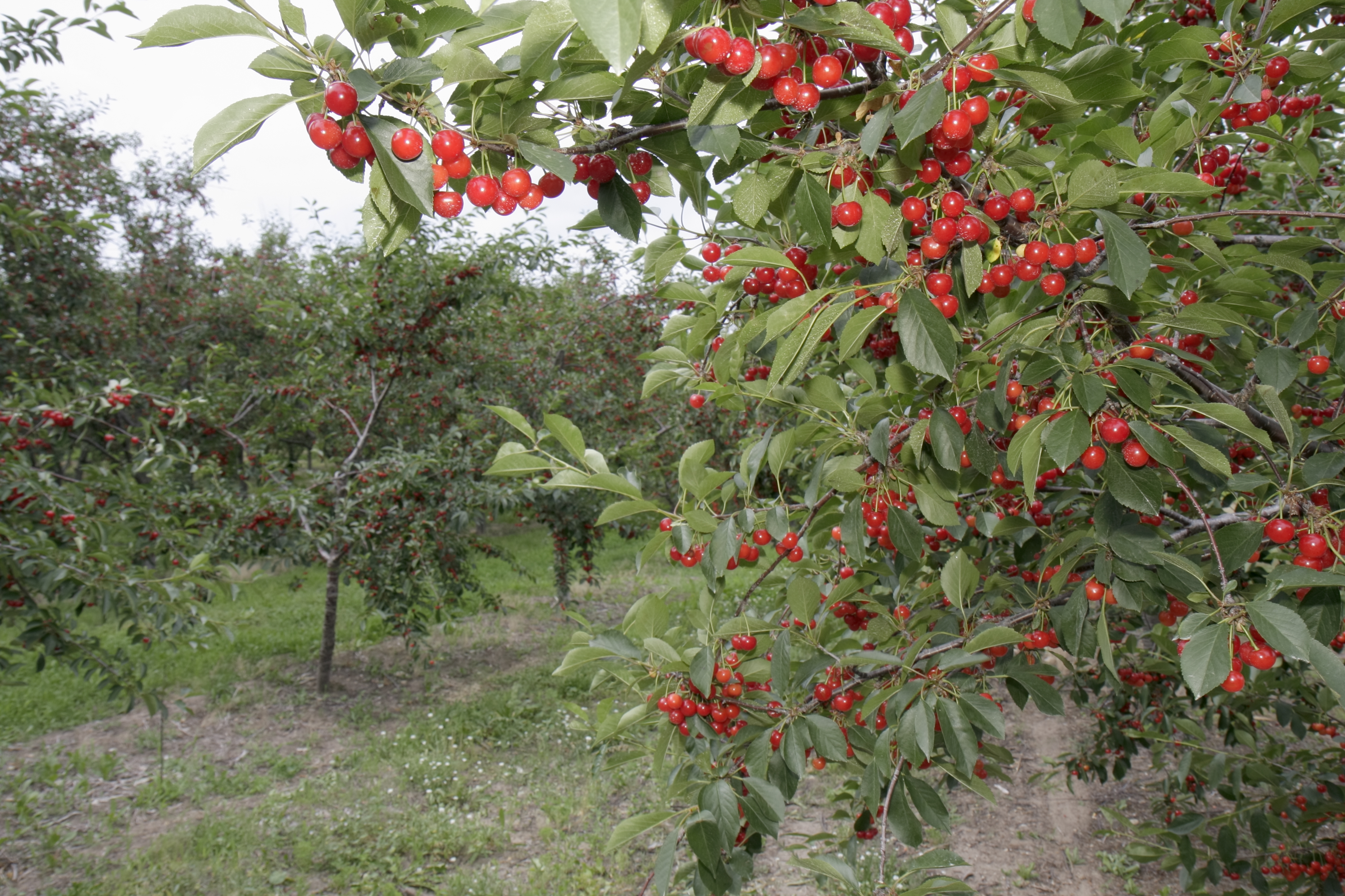 A cherry orchard in Old Mission Peninsula.
