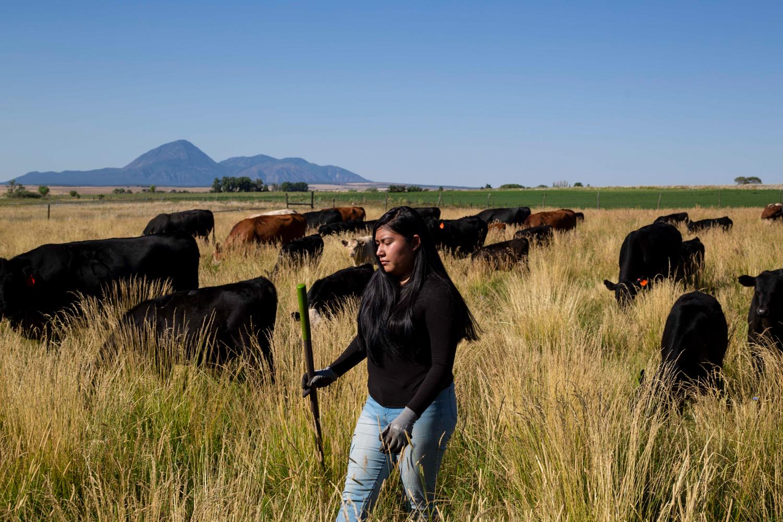 Marissa Moore walks through a field of cows at Fozzie's Farm.