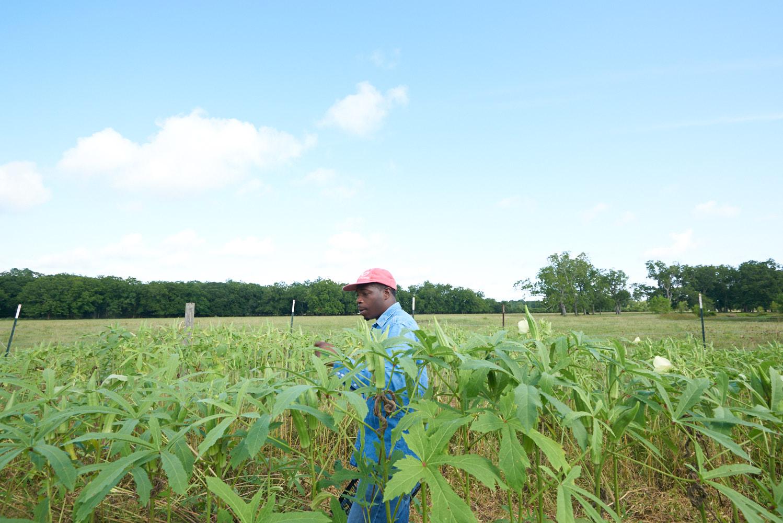 A Black farmer walks through a field of green plants