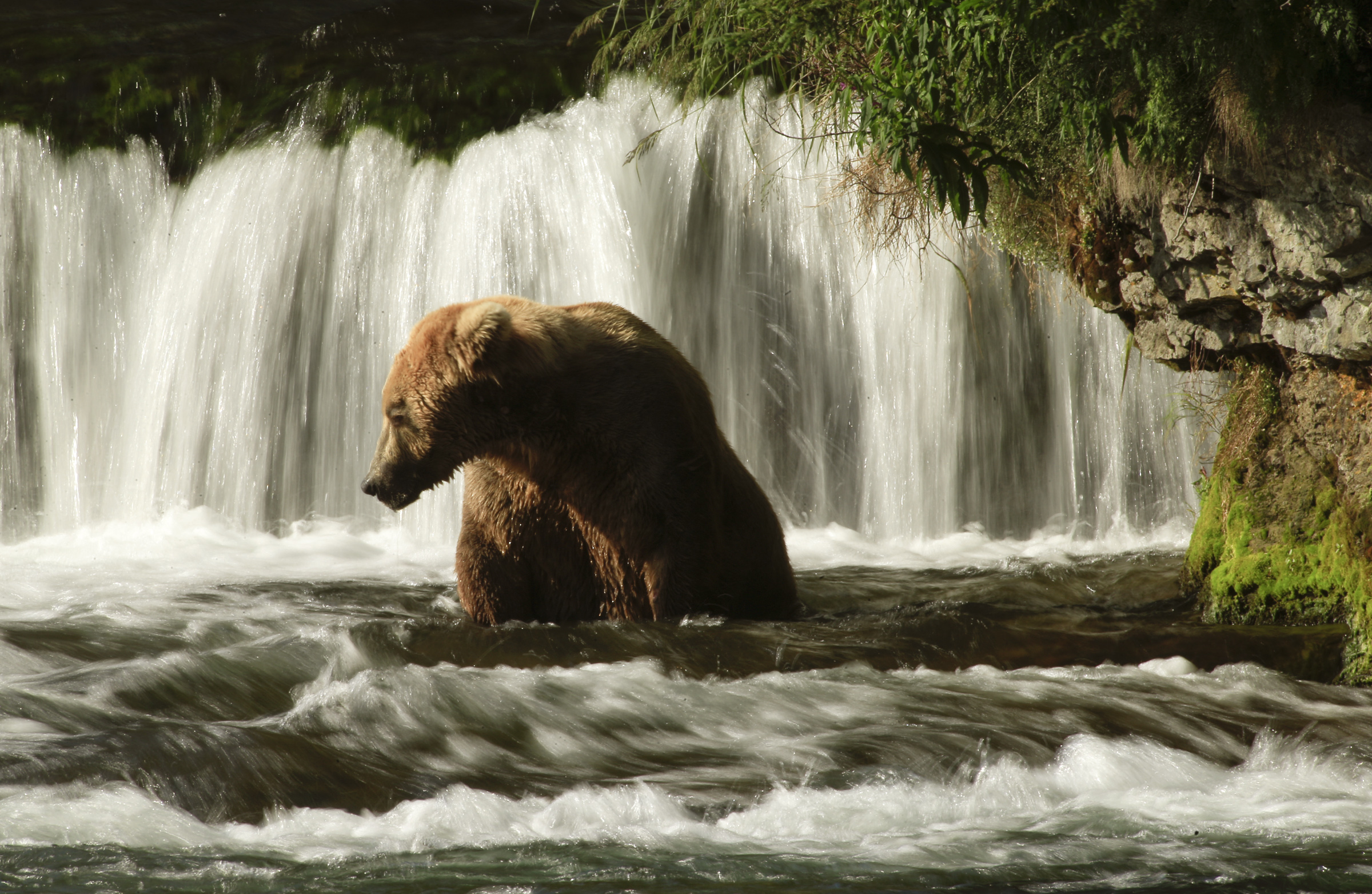 KATMAI, ALASKA, JULY 20, 2014: One of the most famous viewing spots for the Coastal Brown Bear in Al