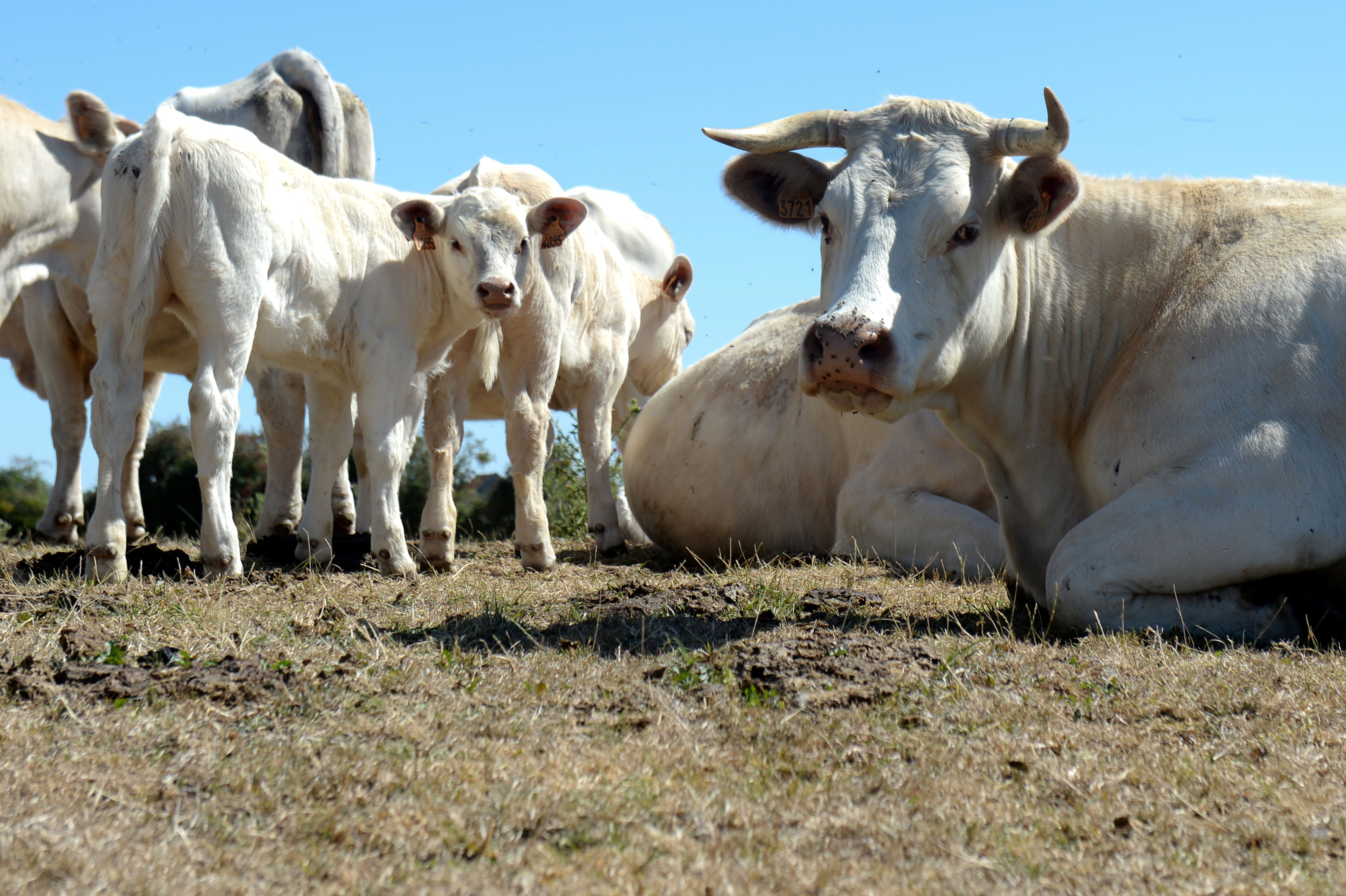 FRANCE-AGRICULTURE-WEATHER-ANIMALS-COWS
