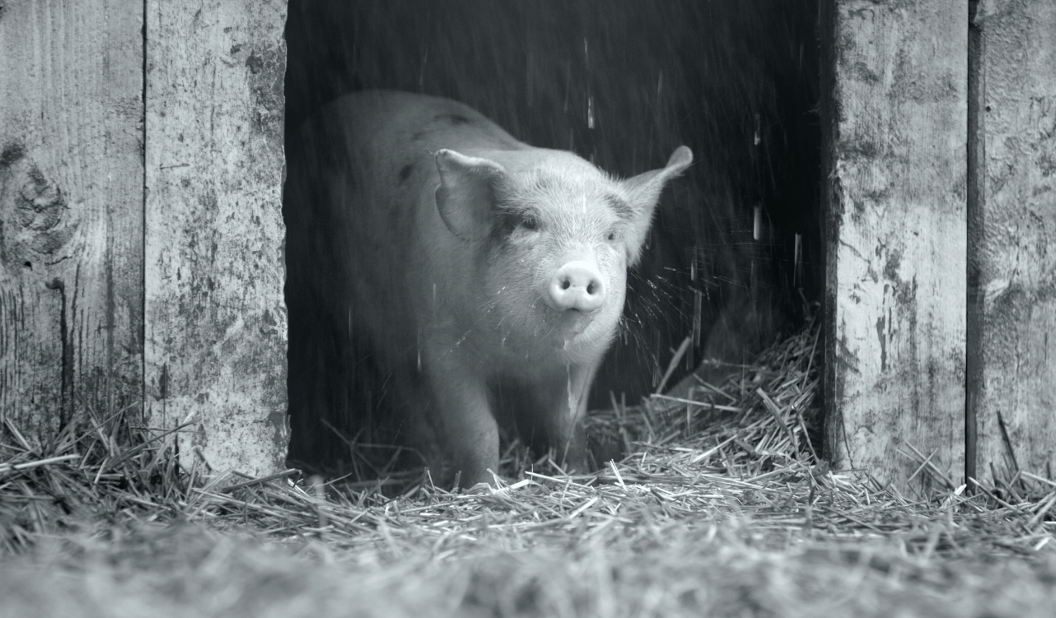 A piglet looks out the door of a shed.
