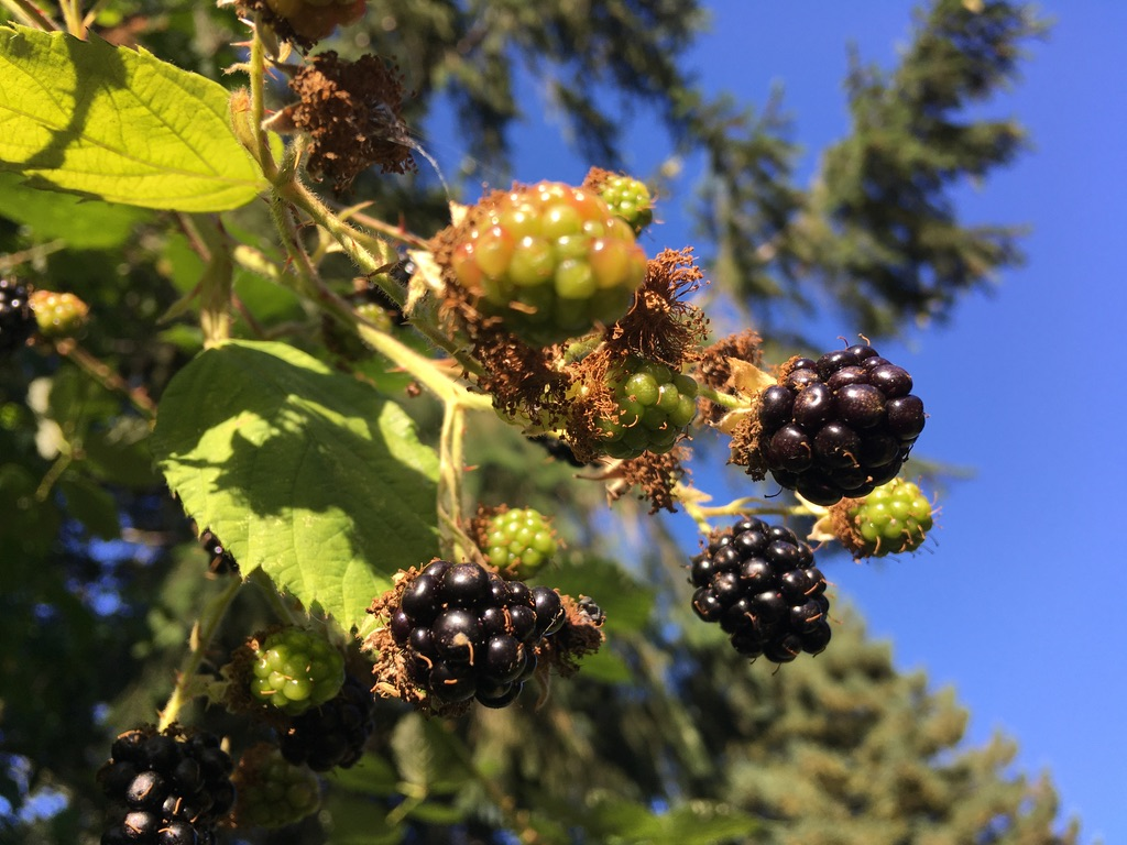 A few of a blackberry bush with ripe fruit on a clear, sunny day