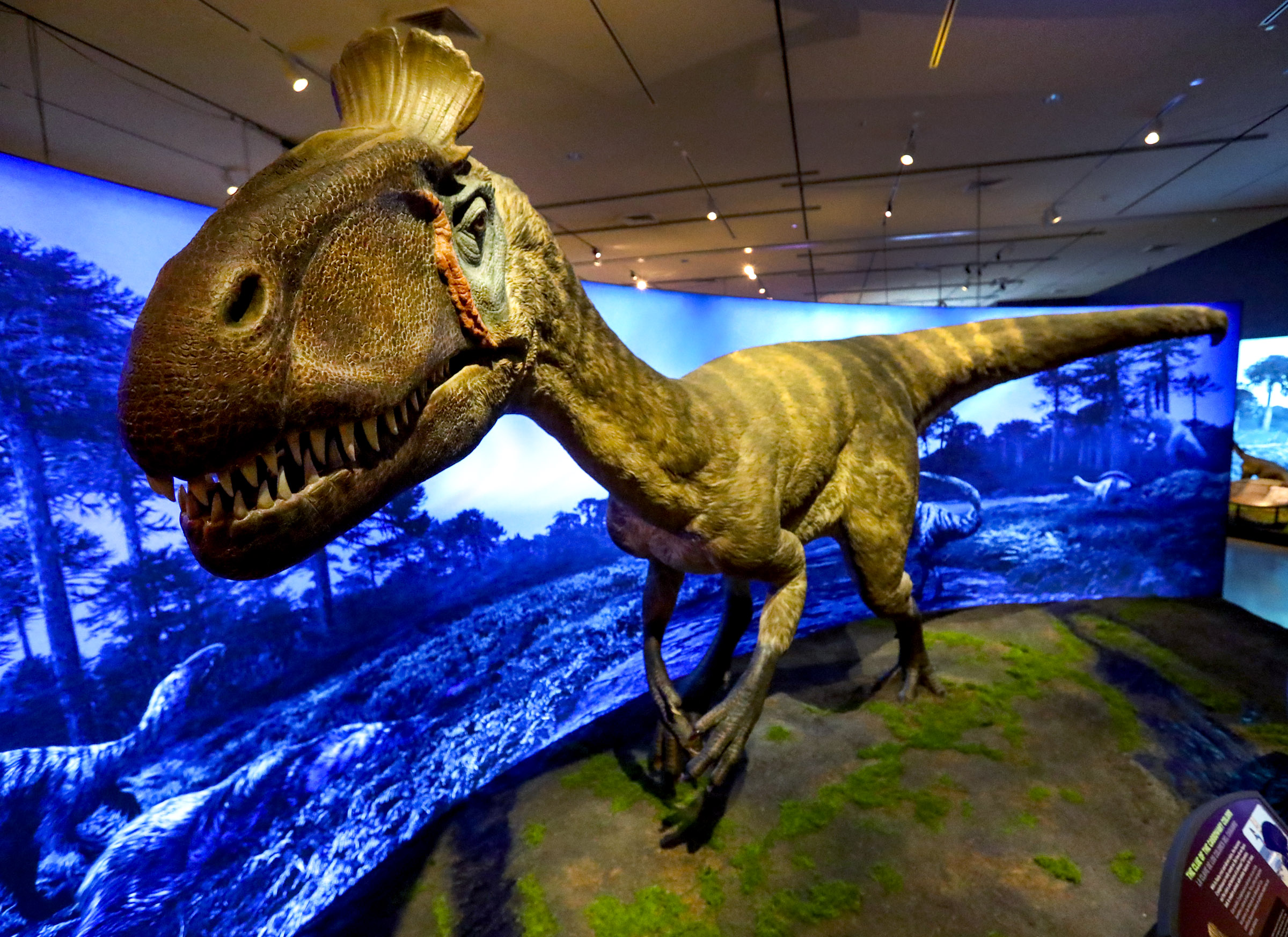 A life-sized replica of a Cryolophosaurus is on display in the Antarctic Dinosaurs exhibit at the Natural History Museum of Utah in Salt Lake City on Friday, Oct. 23, 2020.The exhibit guides visitors through what was once a lush, thriving continent and explains how paleontologists carefully extracted four Antarctic dinosaur species from the now-frozen landscape.