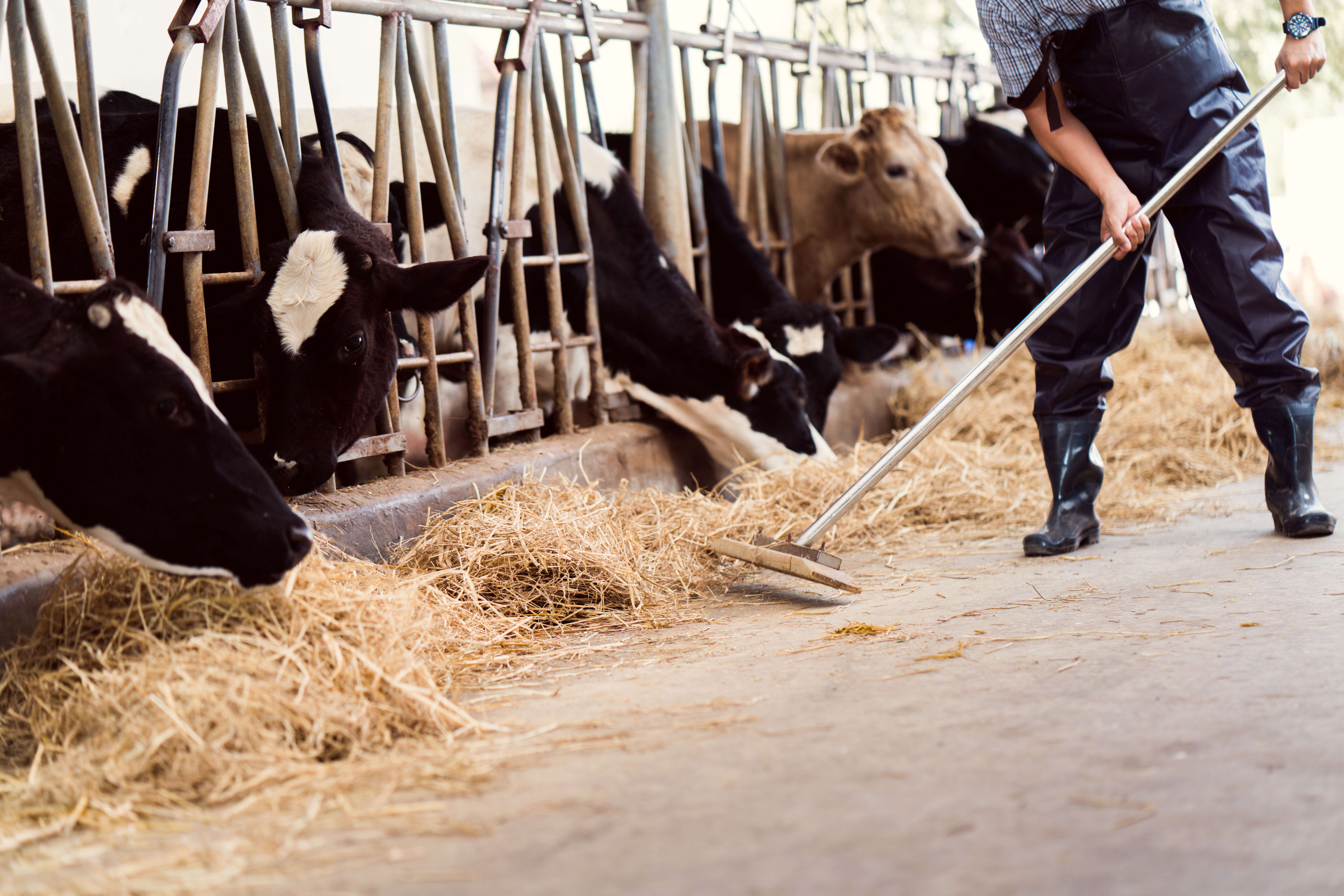 A farmer sweeps up hay near a pen of cows at a dairy farm.