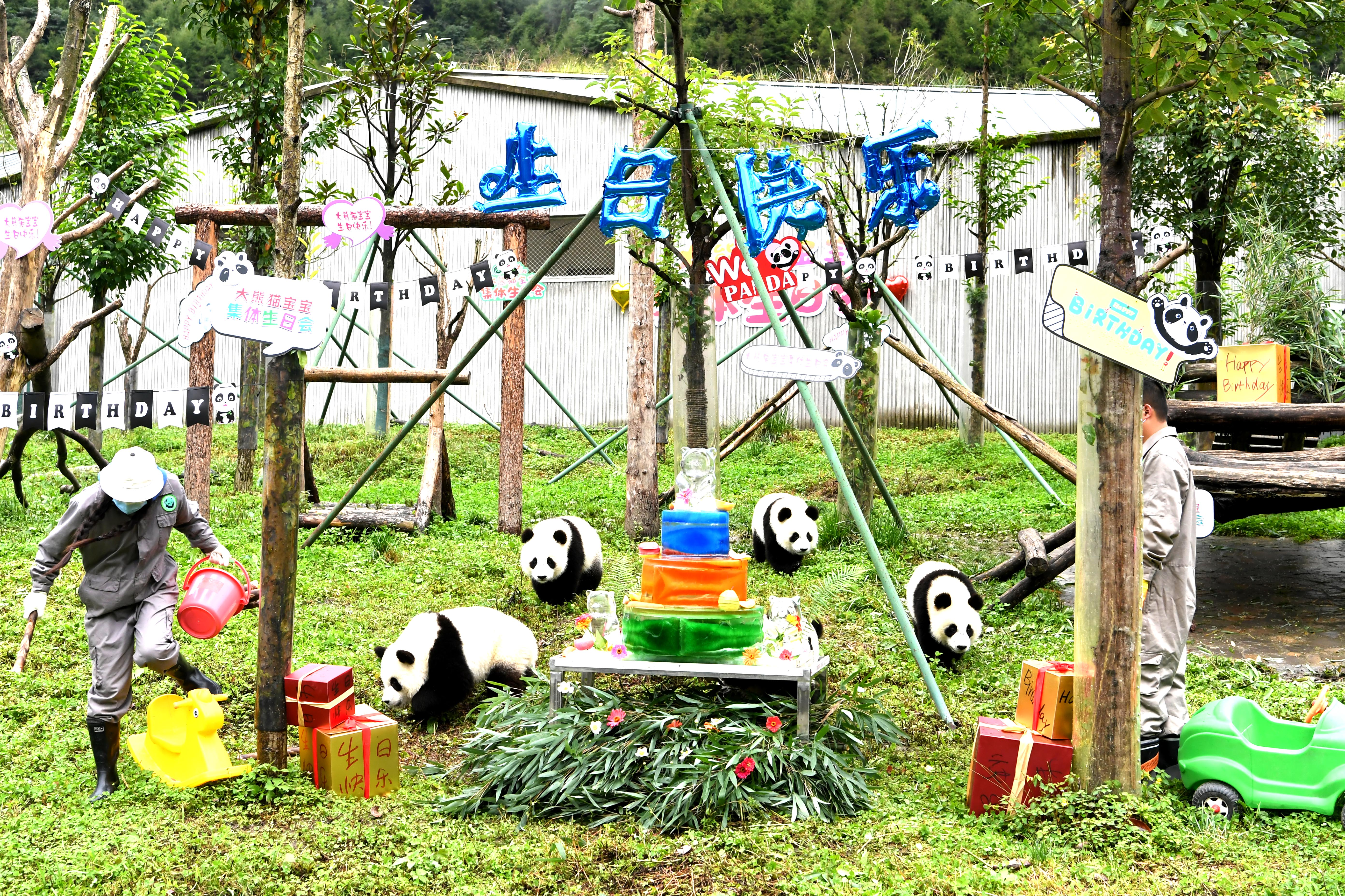 The panda babies are celebrating their birthday at the kindergarten in Wolong,Sichuan,China on 15th September, 2020