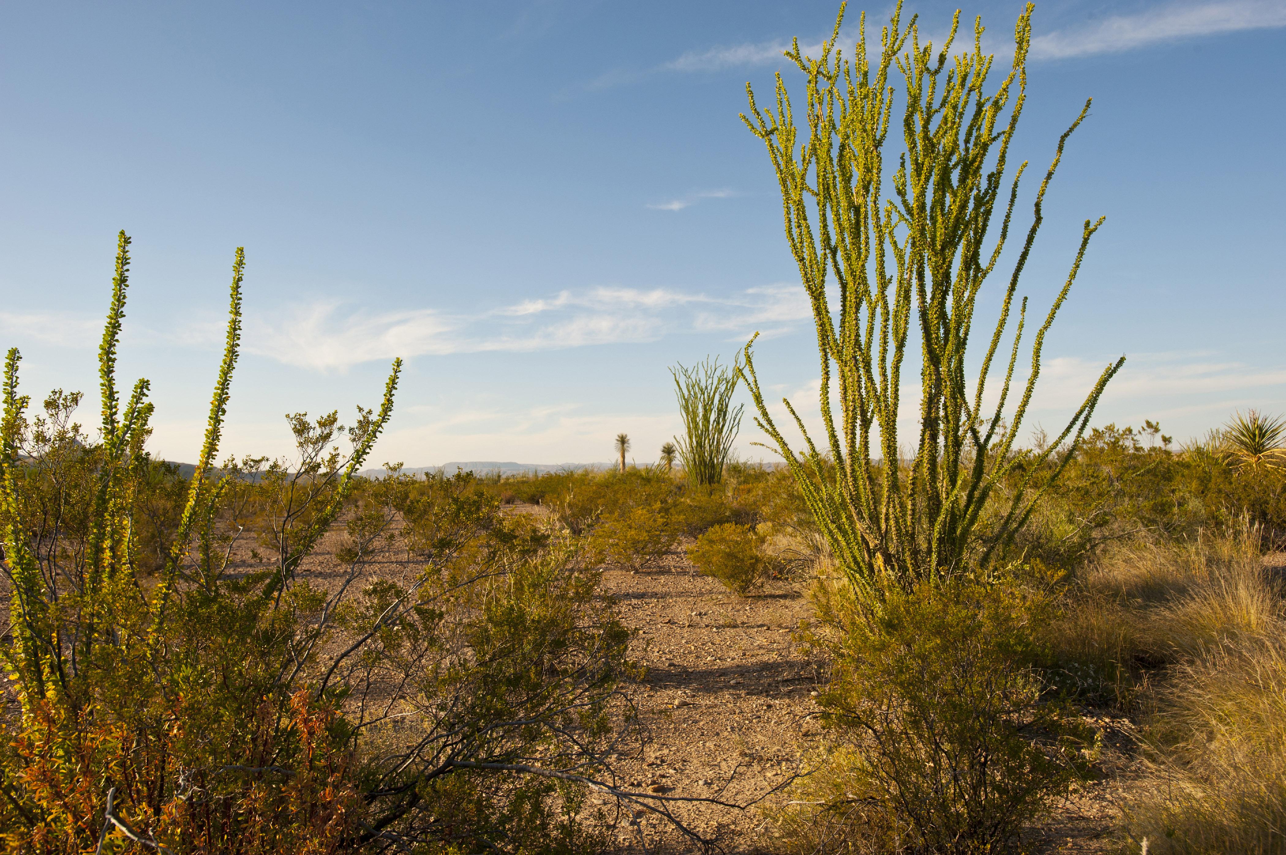 Big Bend National Park, Ocitillo in Chihuahuan Desert
