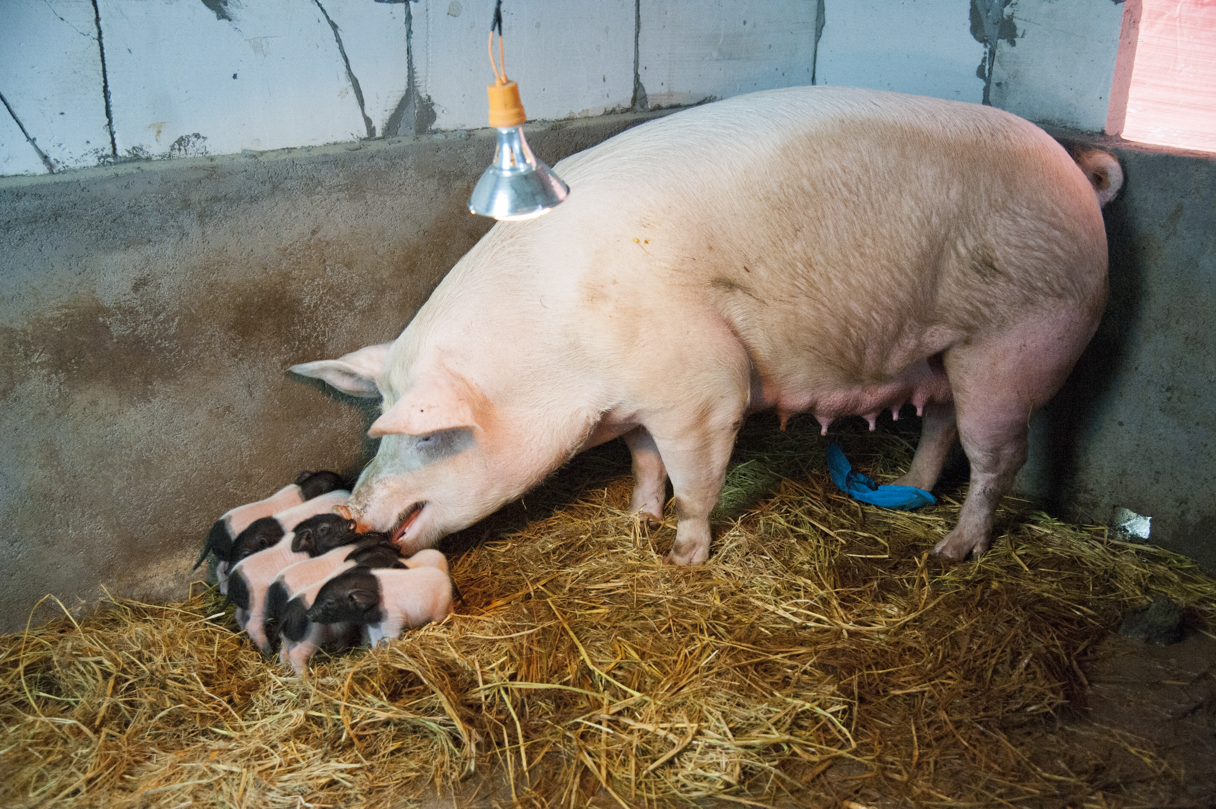 Cloned Jinhua Pigs Born In Dongyang