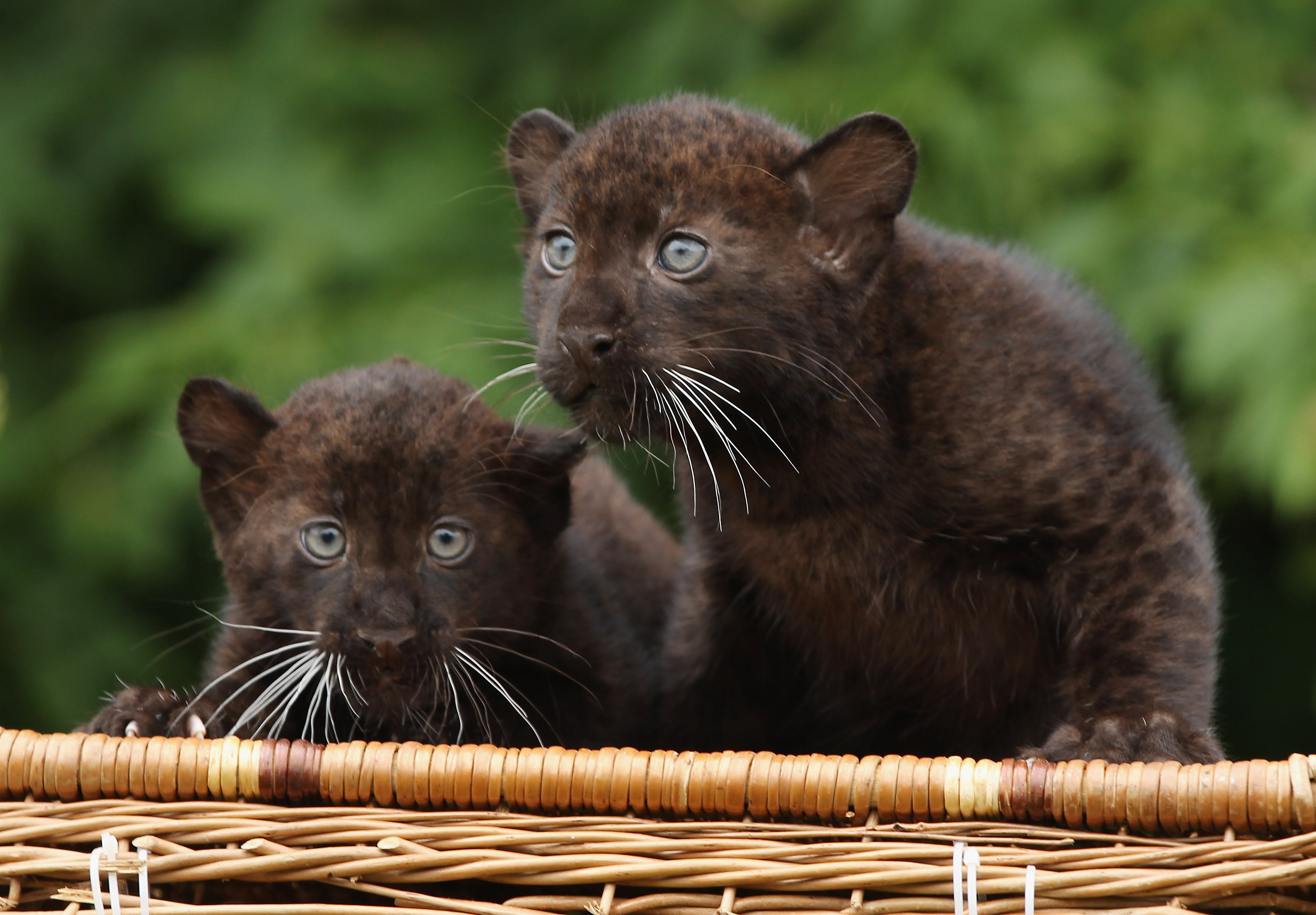 Twin Baby Panthers Born At Berlin Zoo