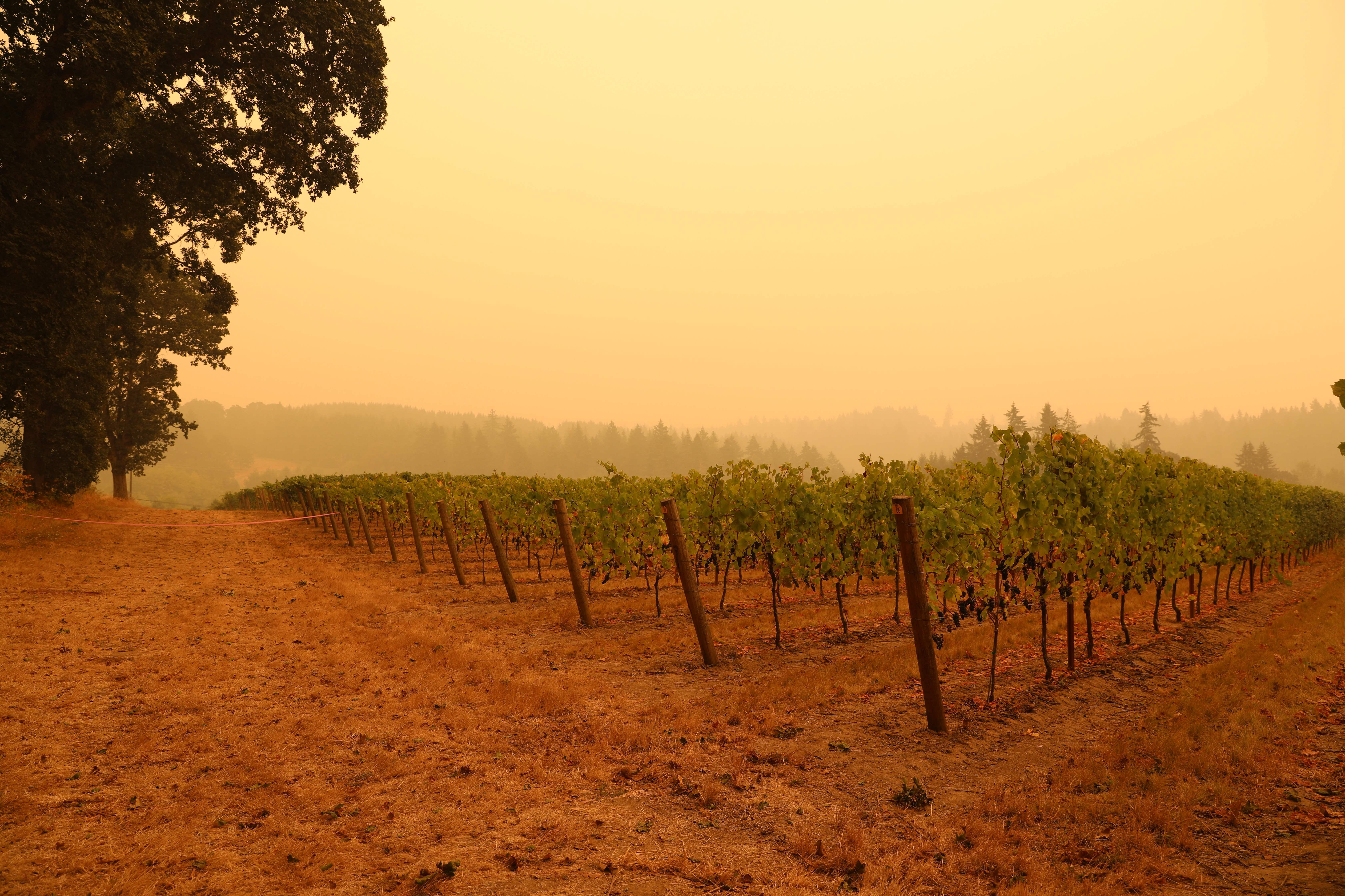 Hazy skies hang over a vineyard in wine country